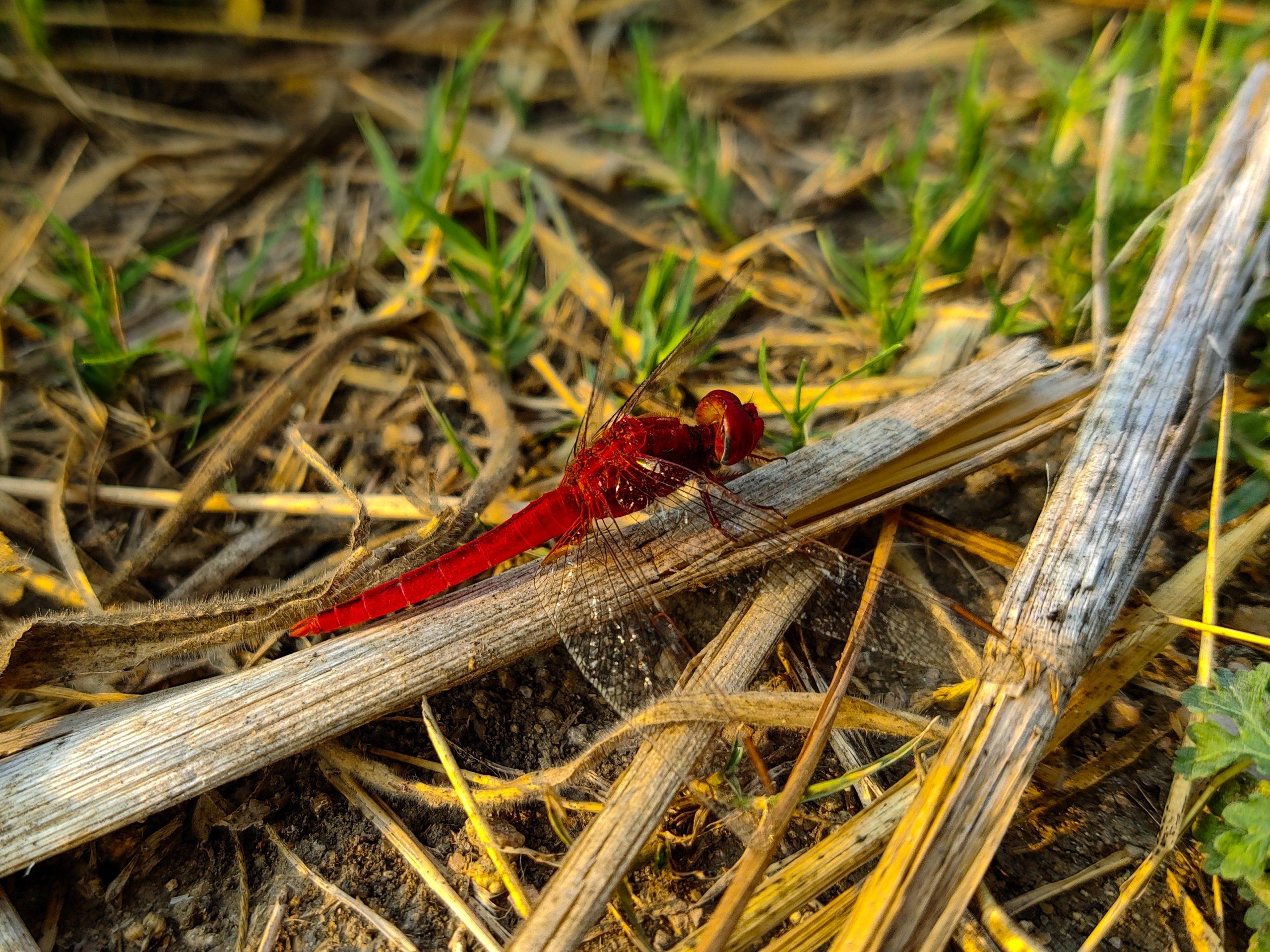 Scarlet dragonfly on a twig