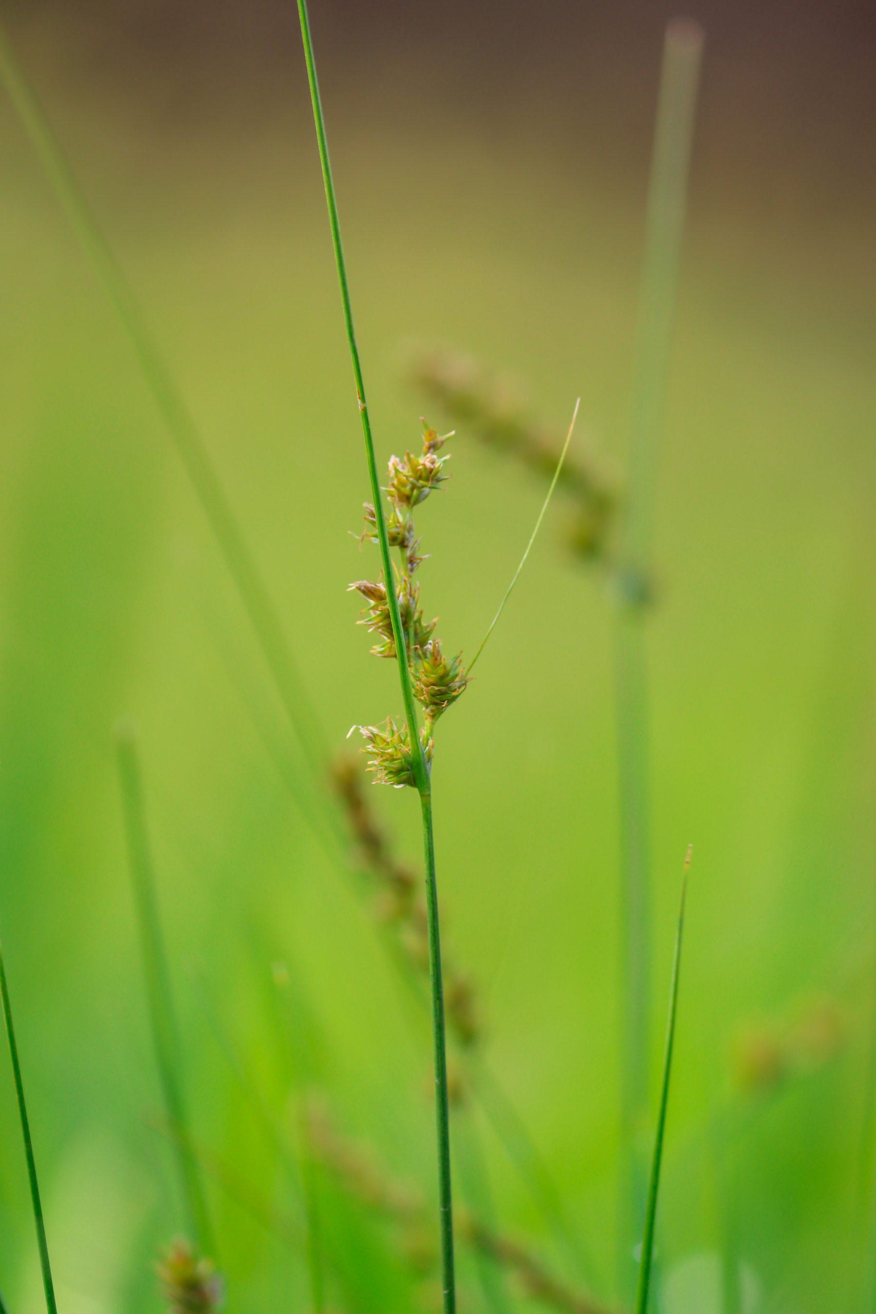 Seeds of a grass straw