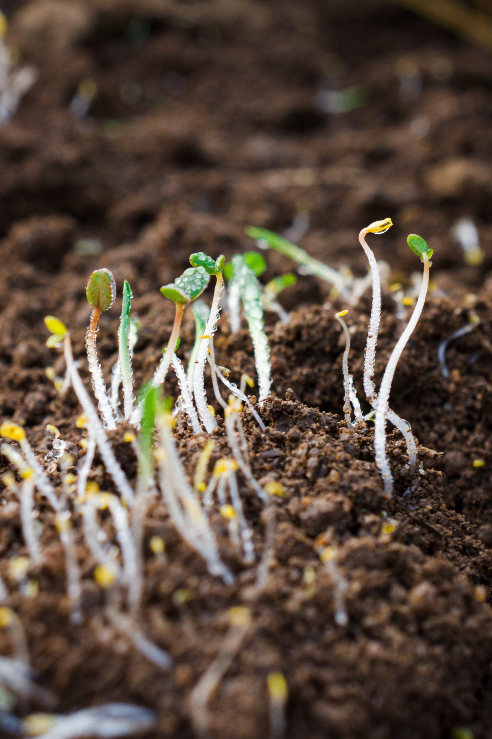 Seeds saplings