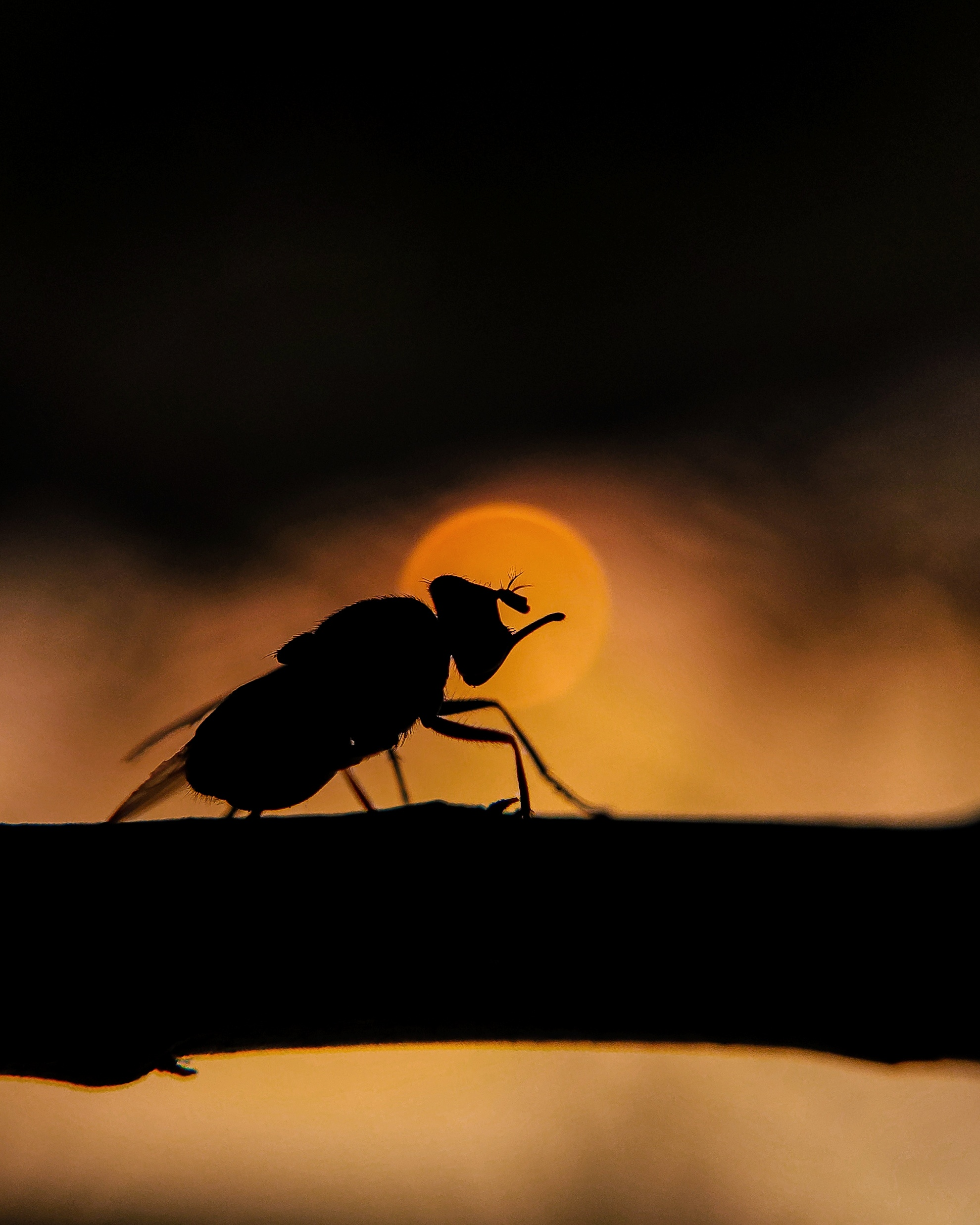 Silhouette of fly in the sunset