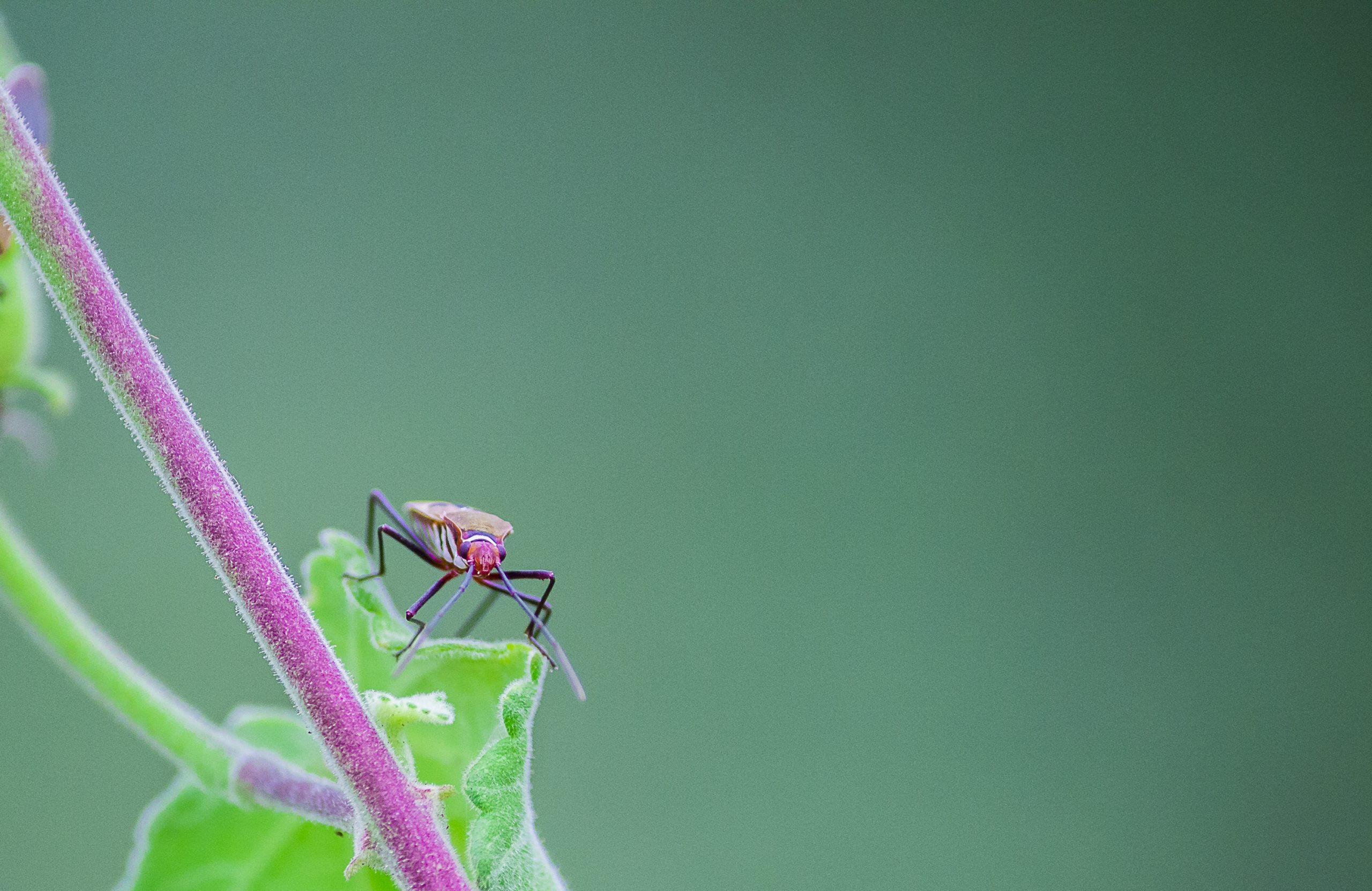 Stink Bug on a Plant Stem
