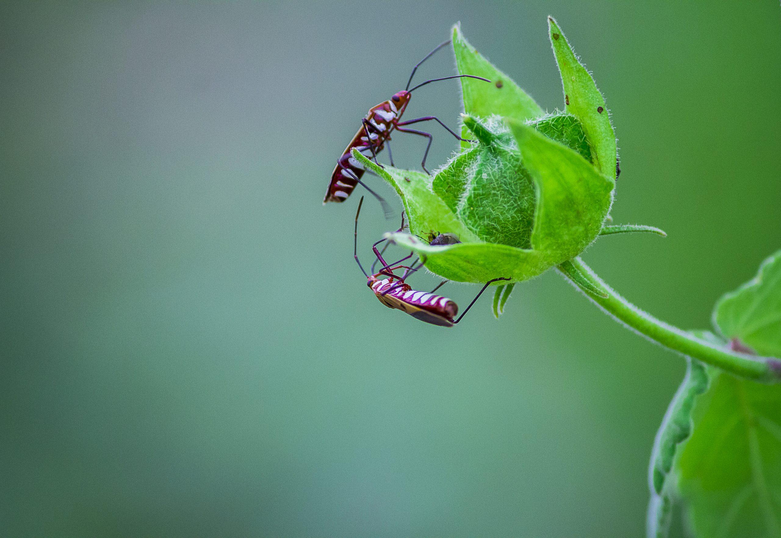 Stink Bugs on a Flower Bud
