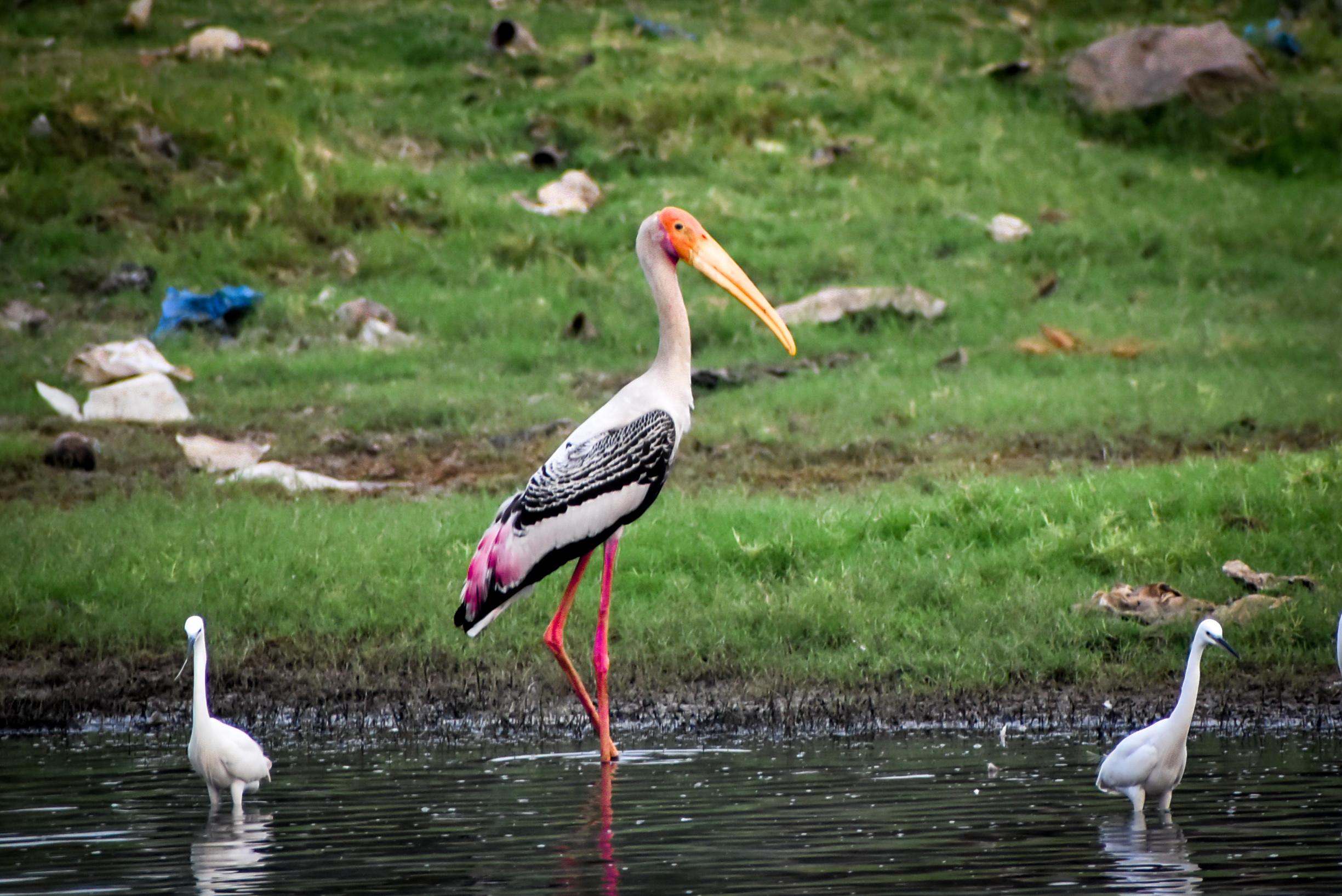 Stork birds in a water resource