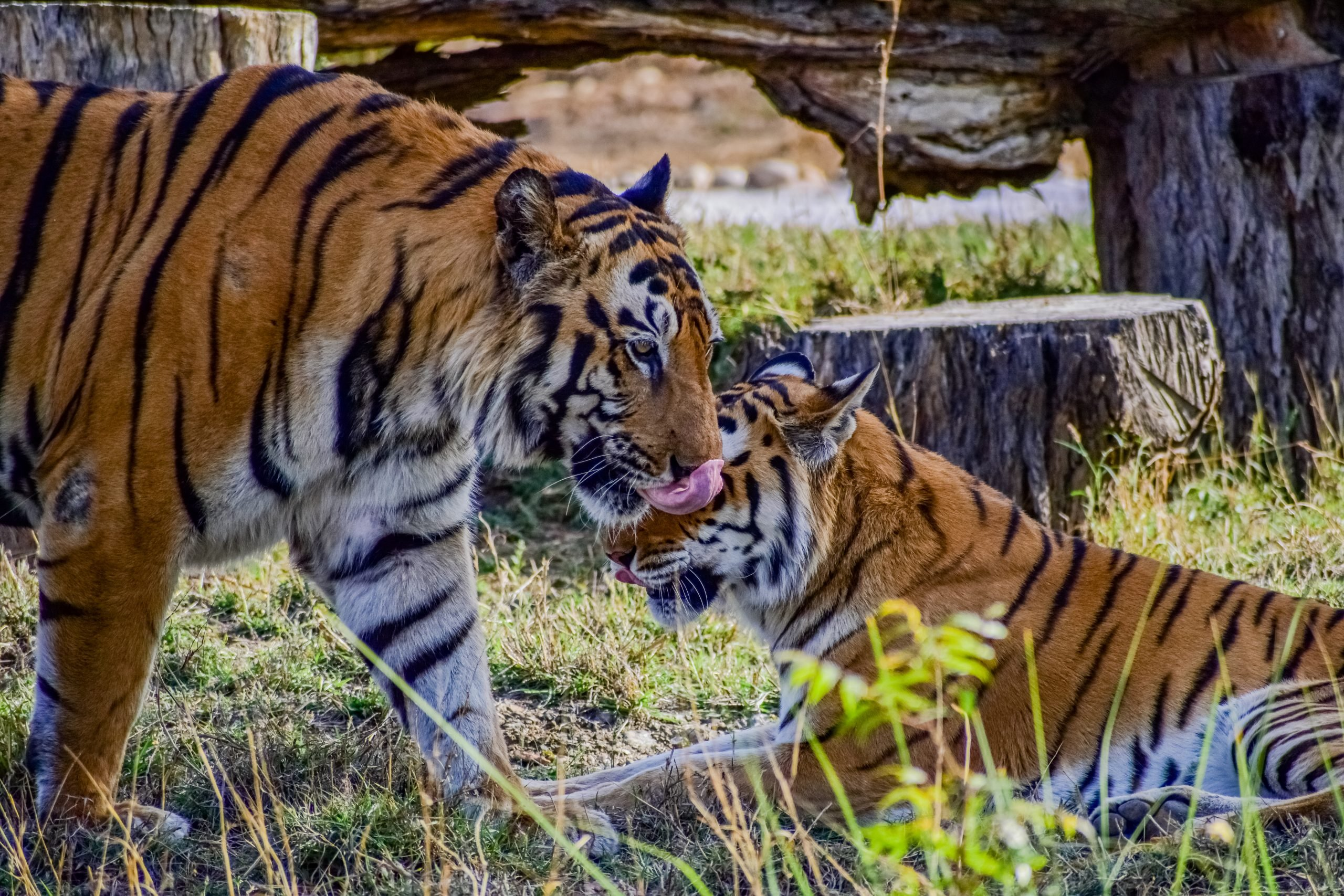 Bengal tigers in a zoo