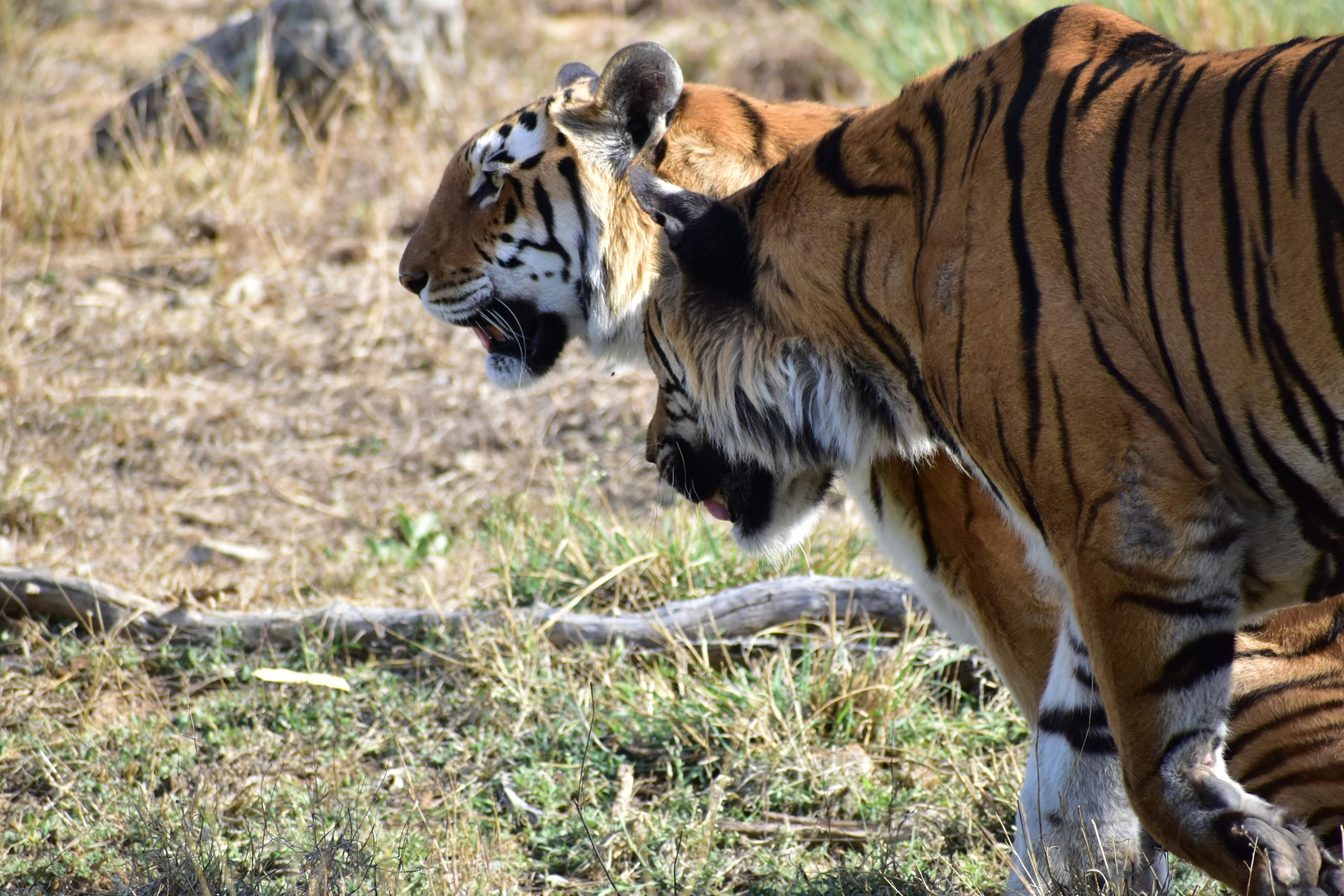 Tiger and tigress in jungle