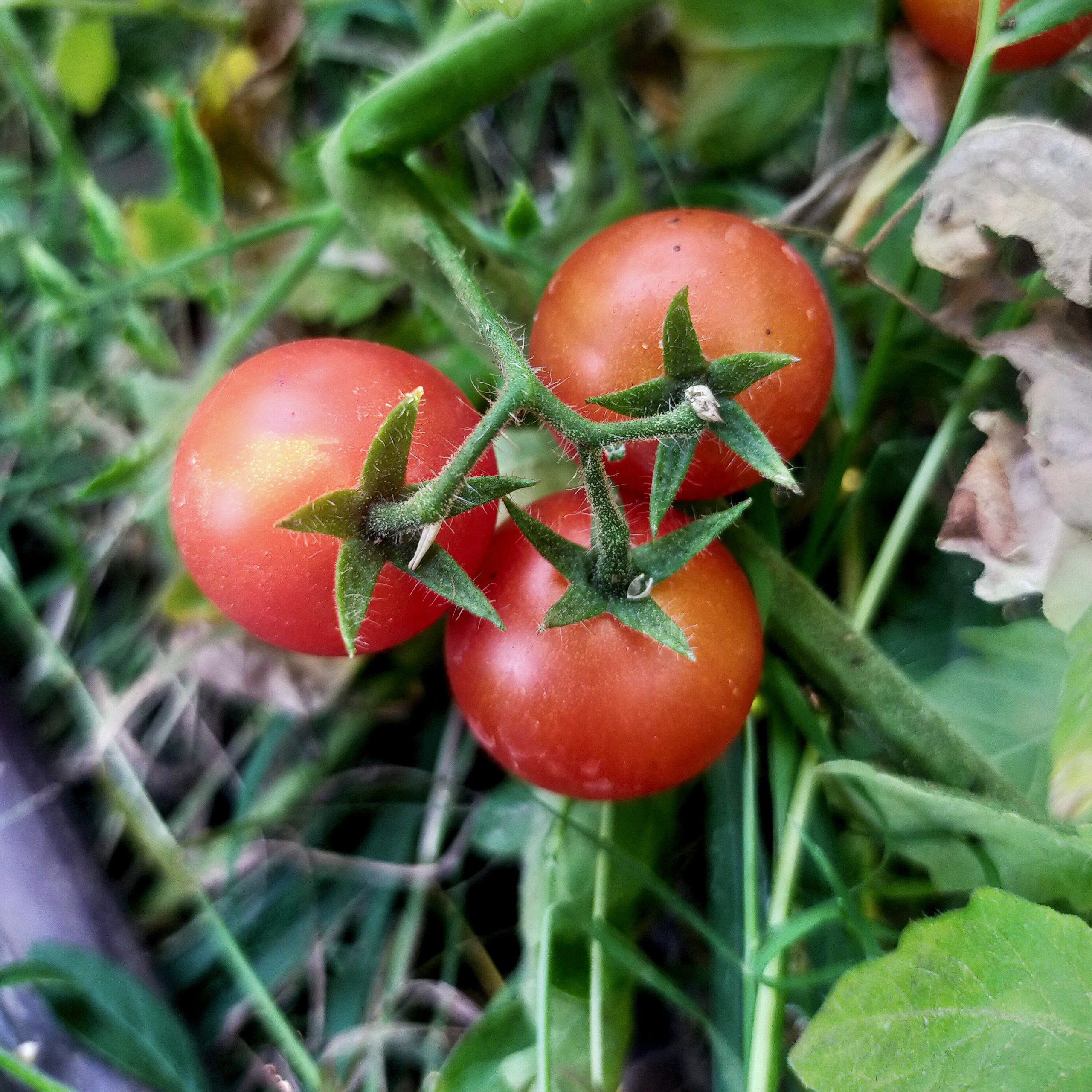 Tomatoes on plant