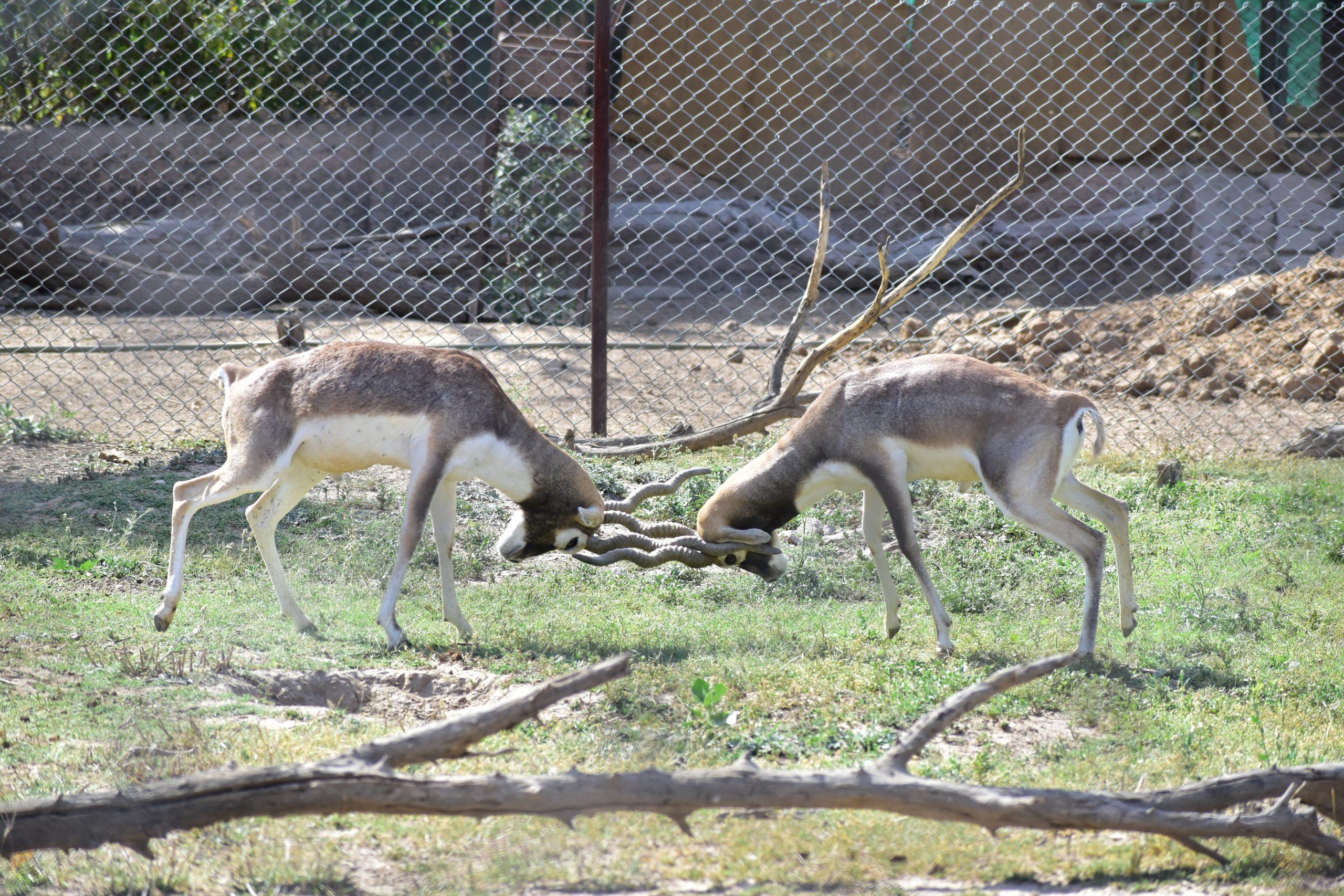 Two blackbucks in a zoo