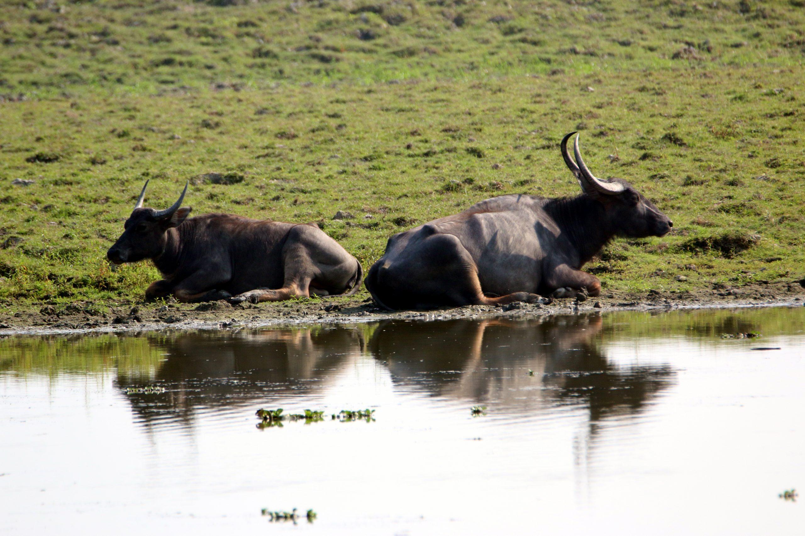 Wild buffalo at a river bank