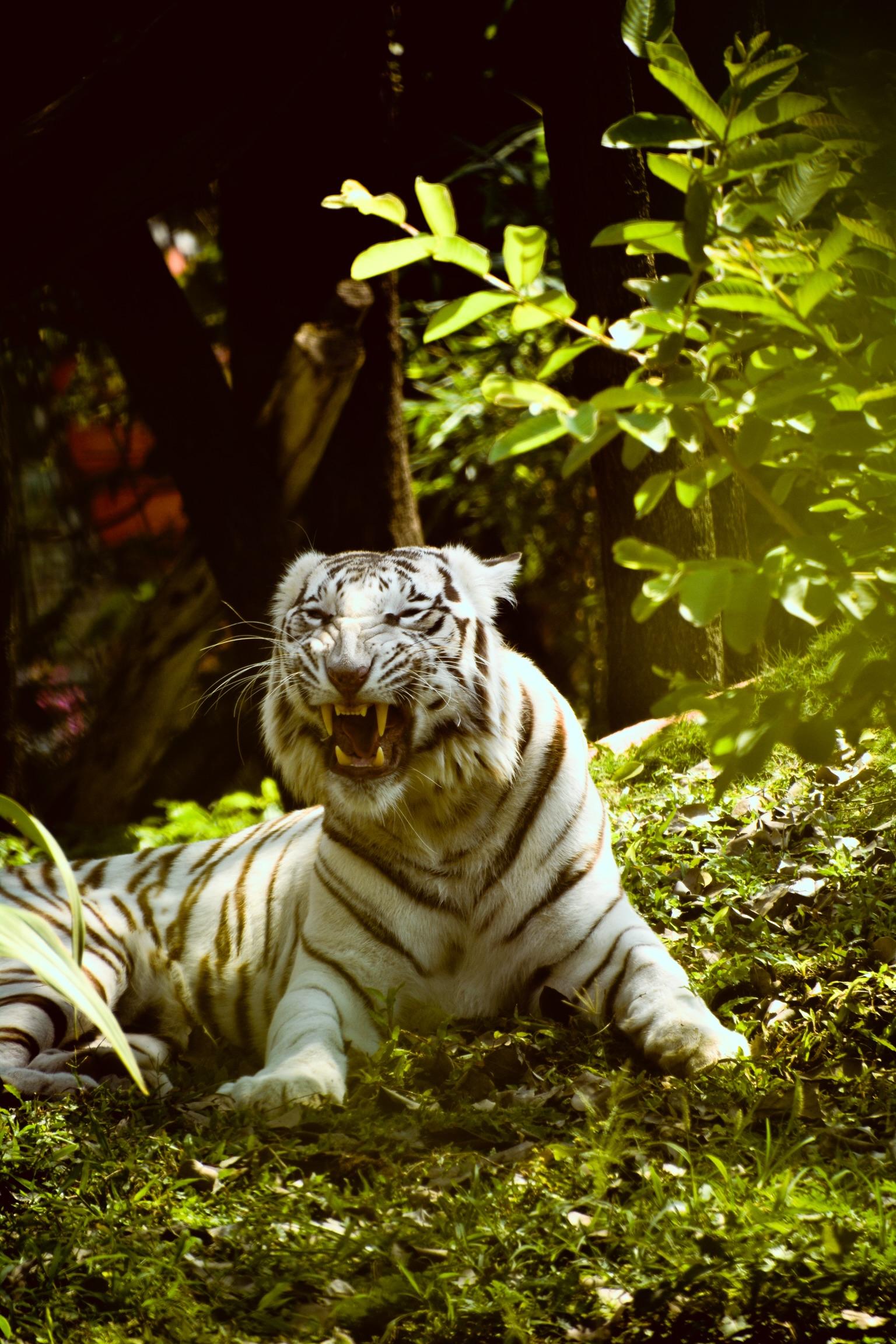 White tiger roaring