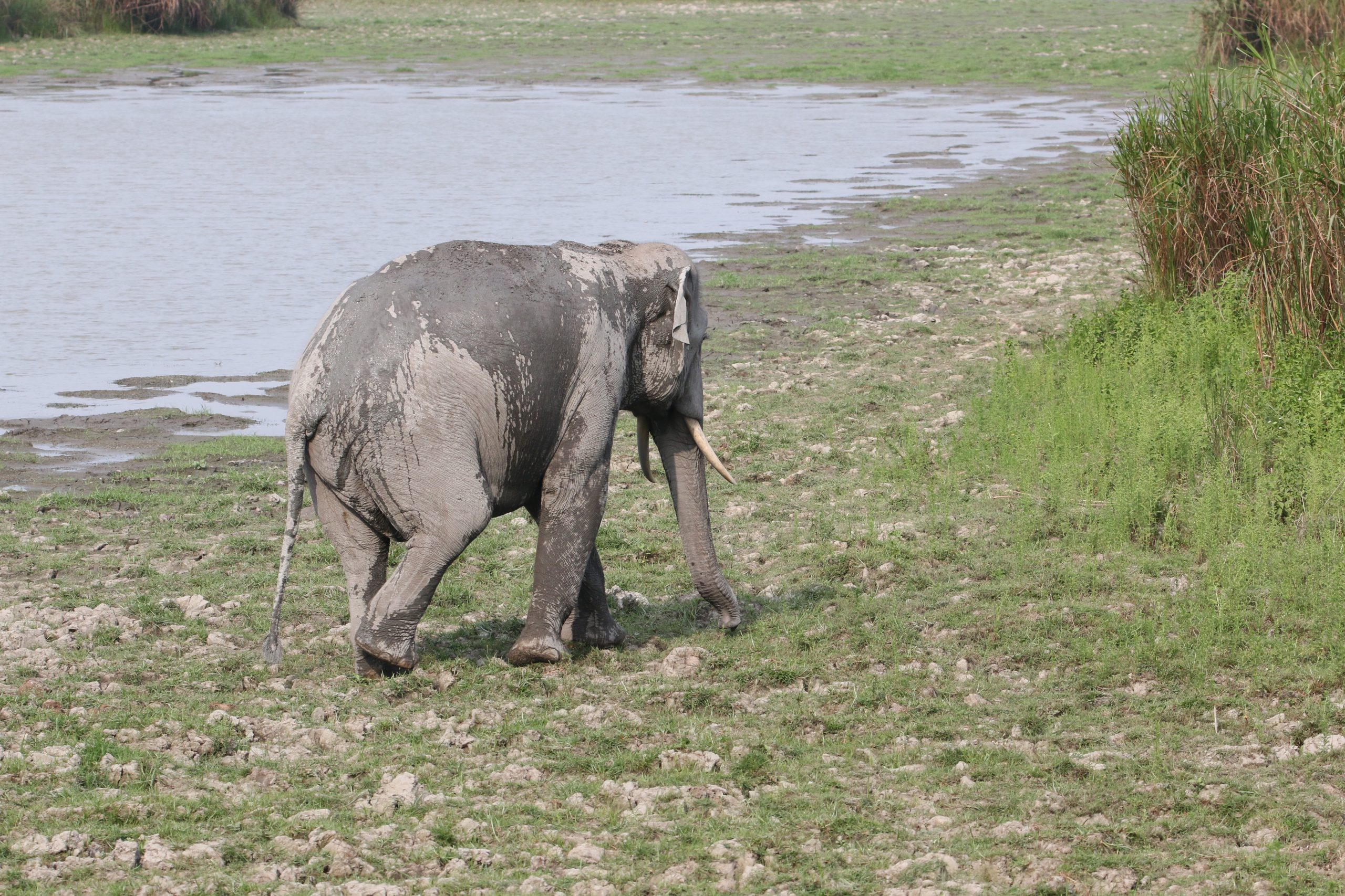 An elephant near a pond
