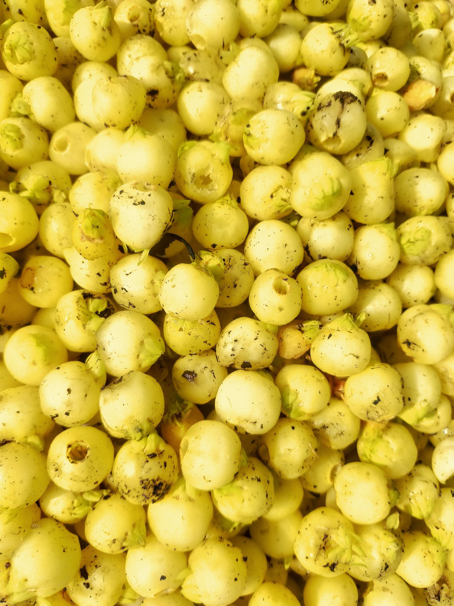 Yellow seeds