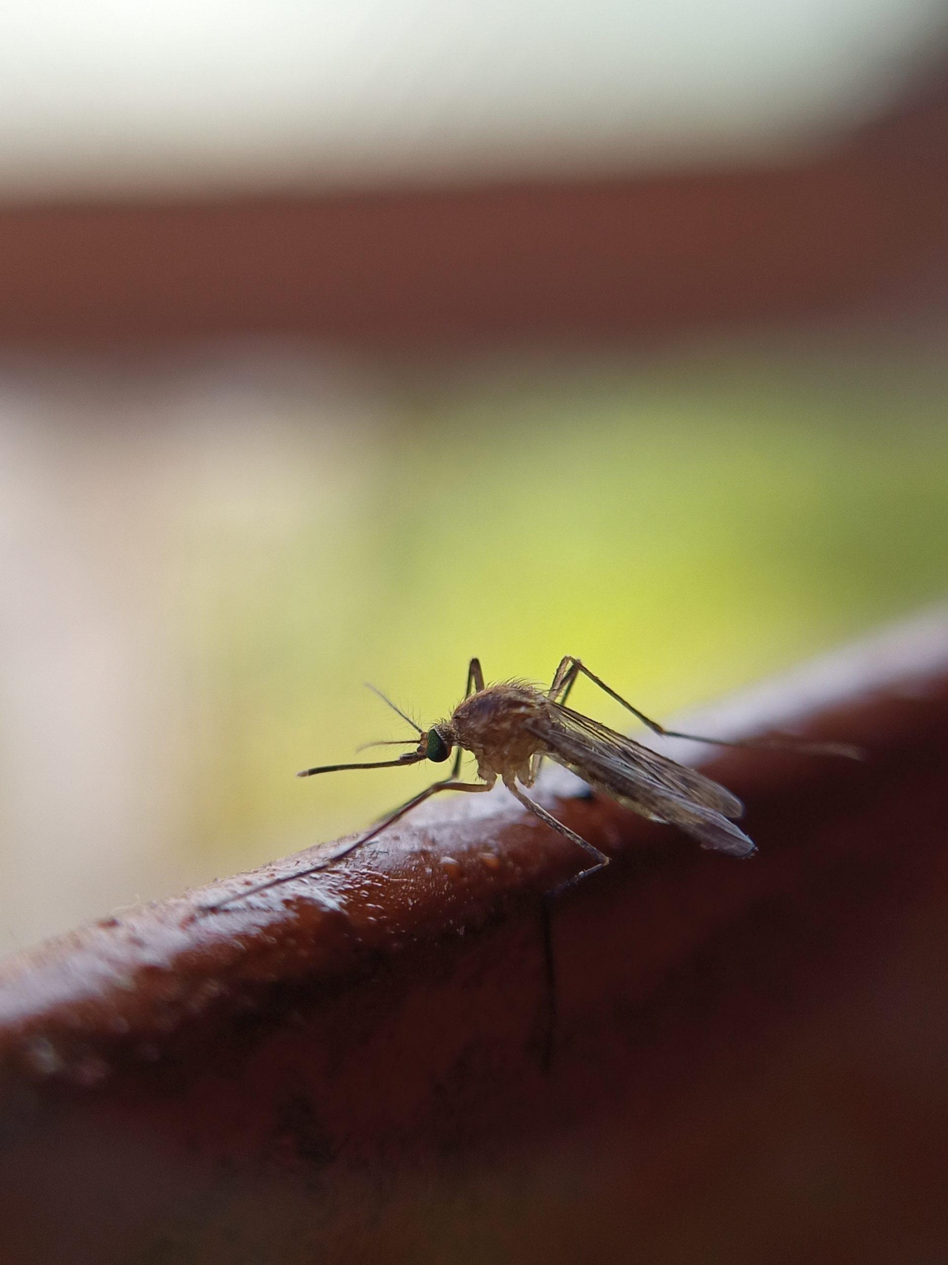 mosquito macro view