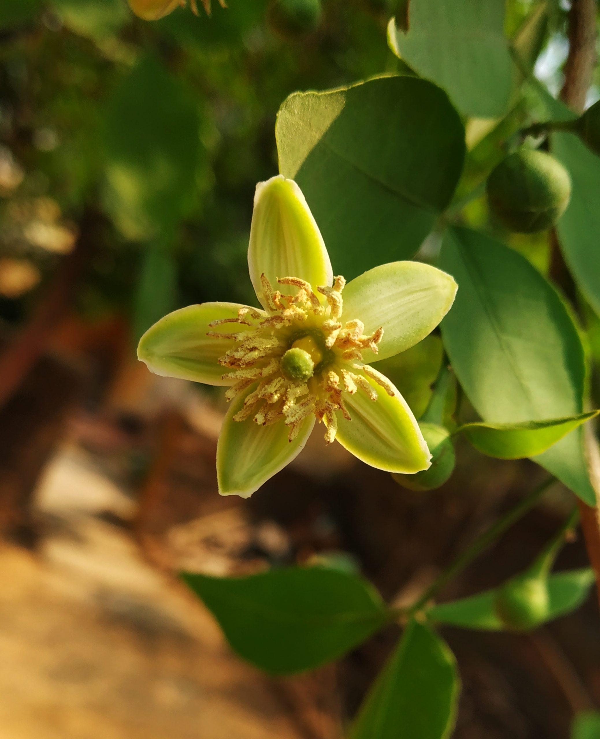 wood apple flower