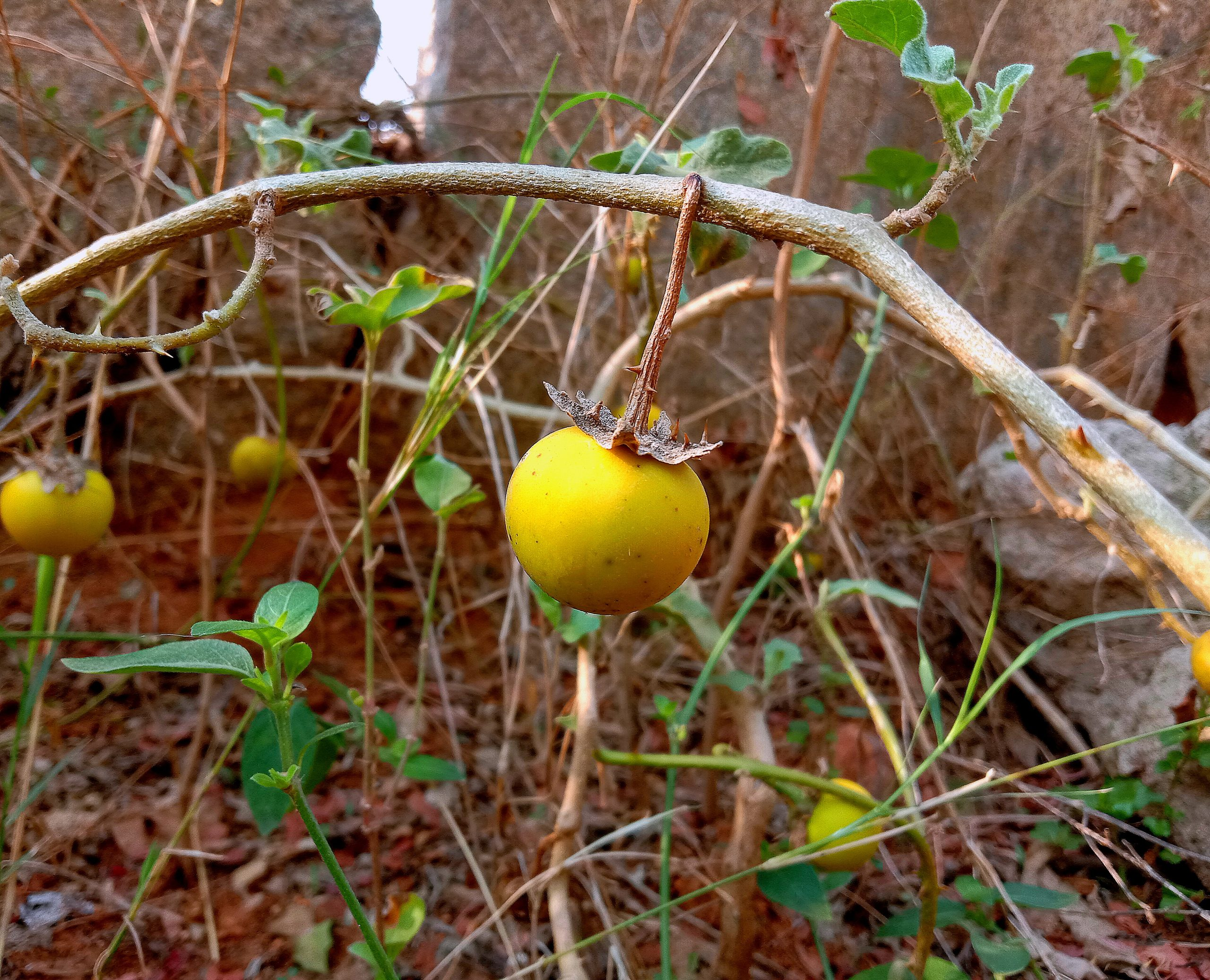 yellow fruit of a plant