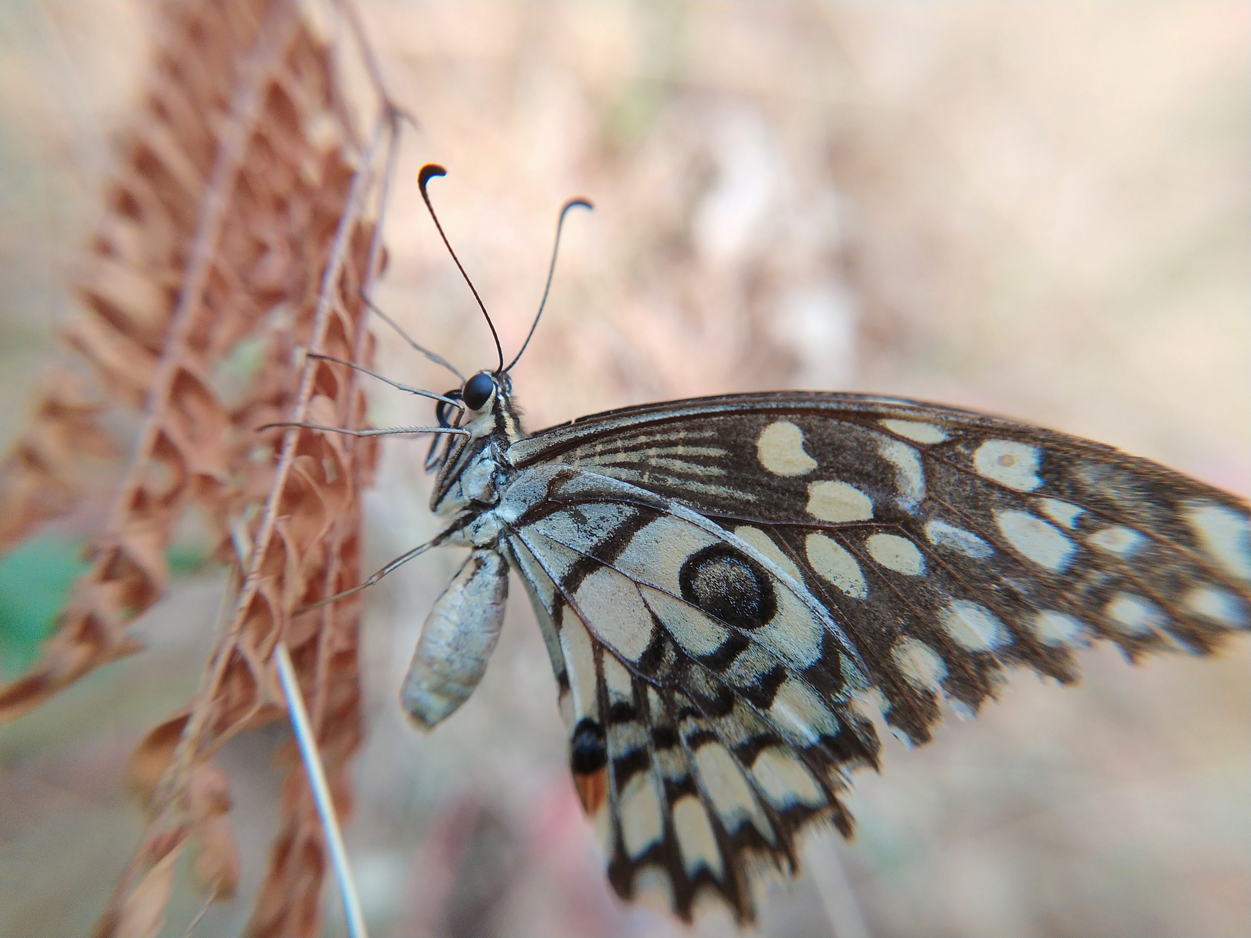 Butterfly on dry plant