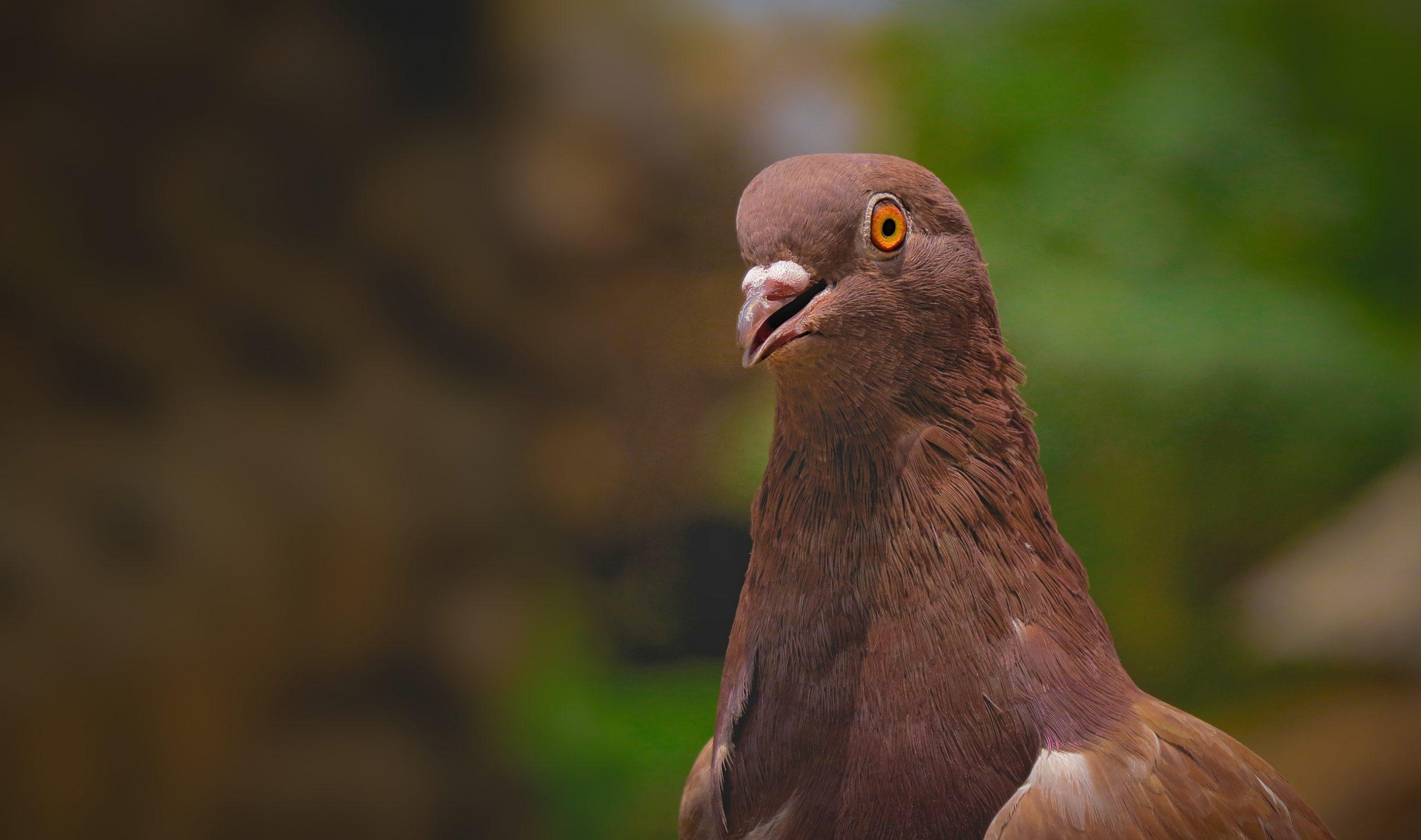 A brown dove