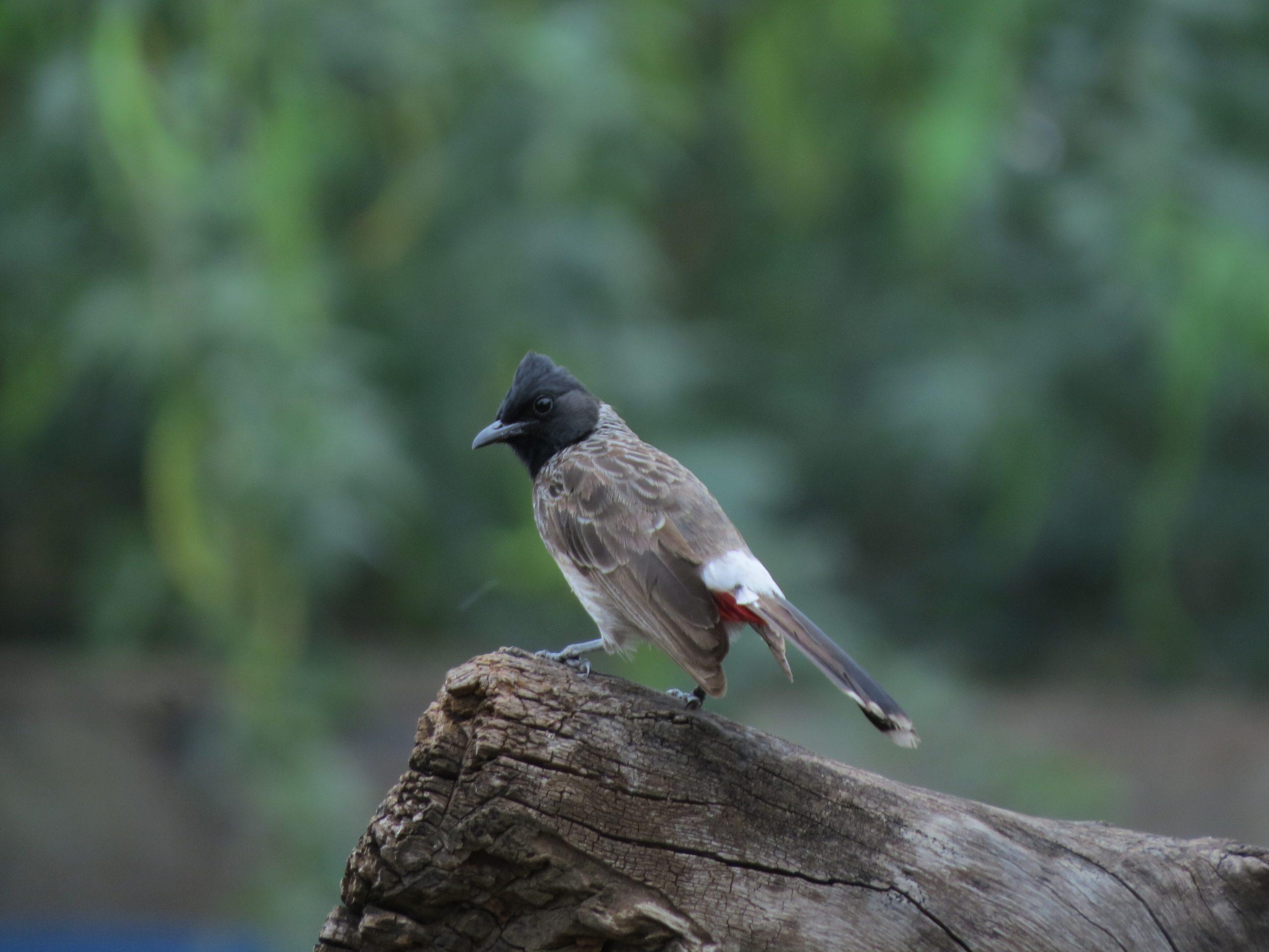 A bulbul bird on a wood