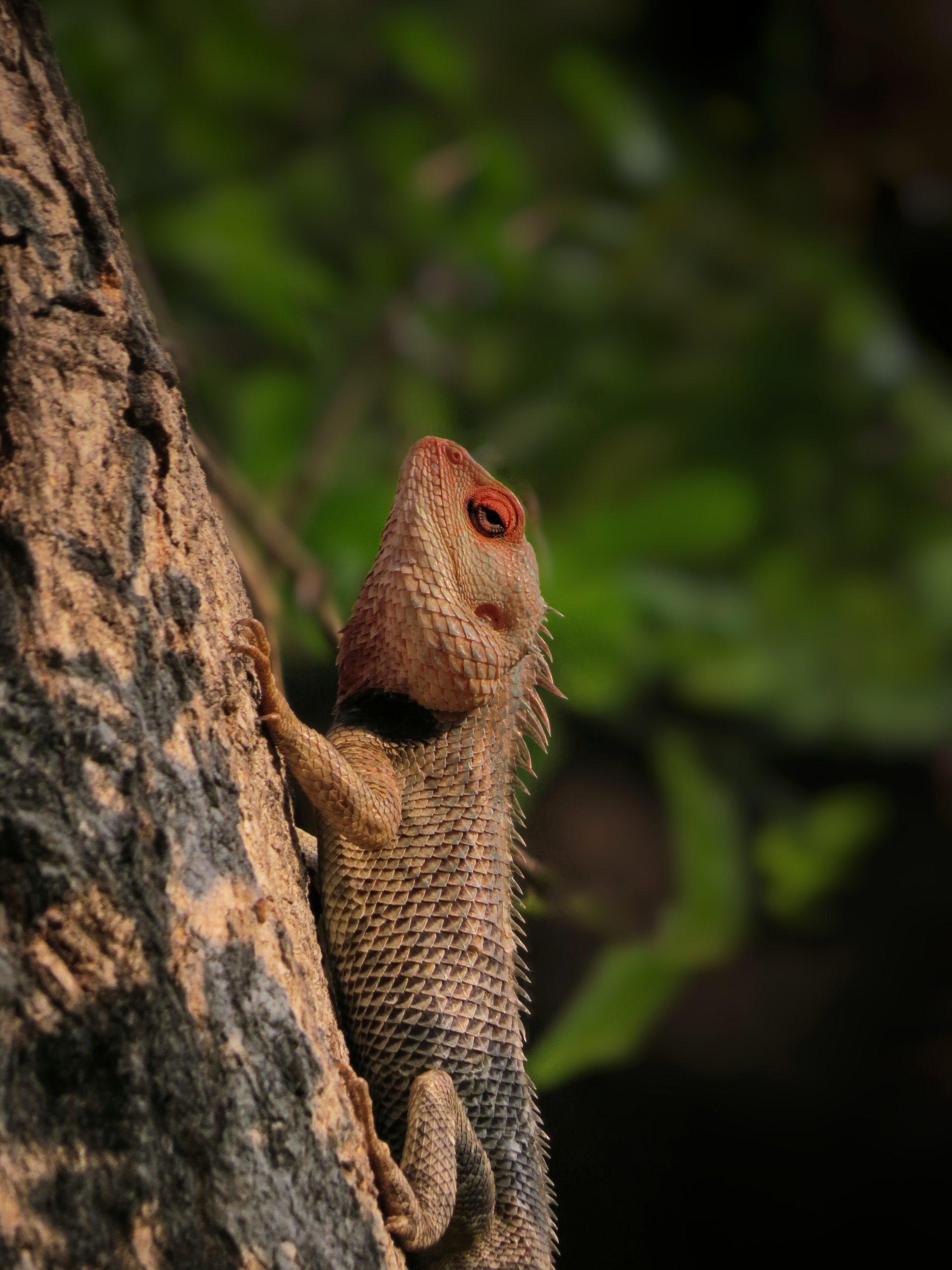 A garden lizard on a tree