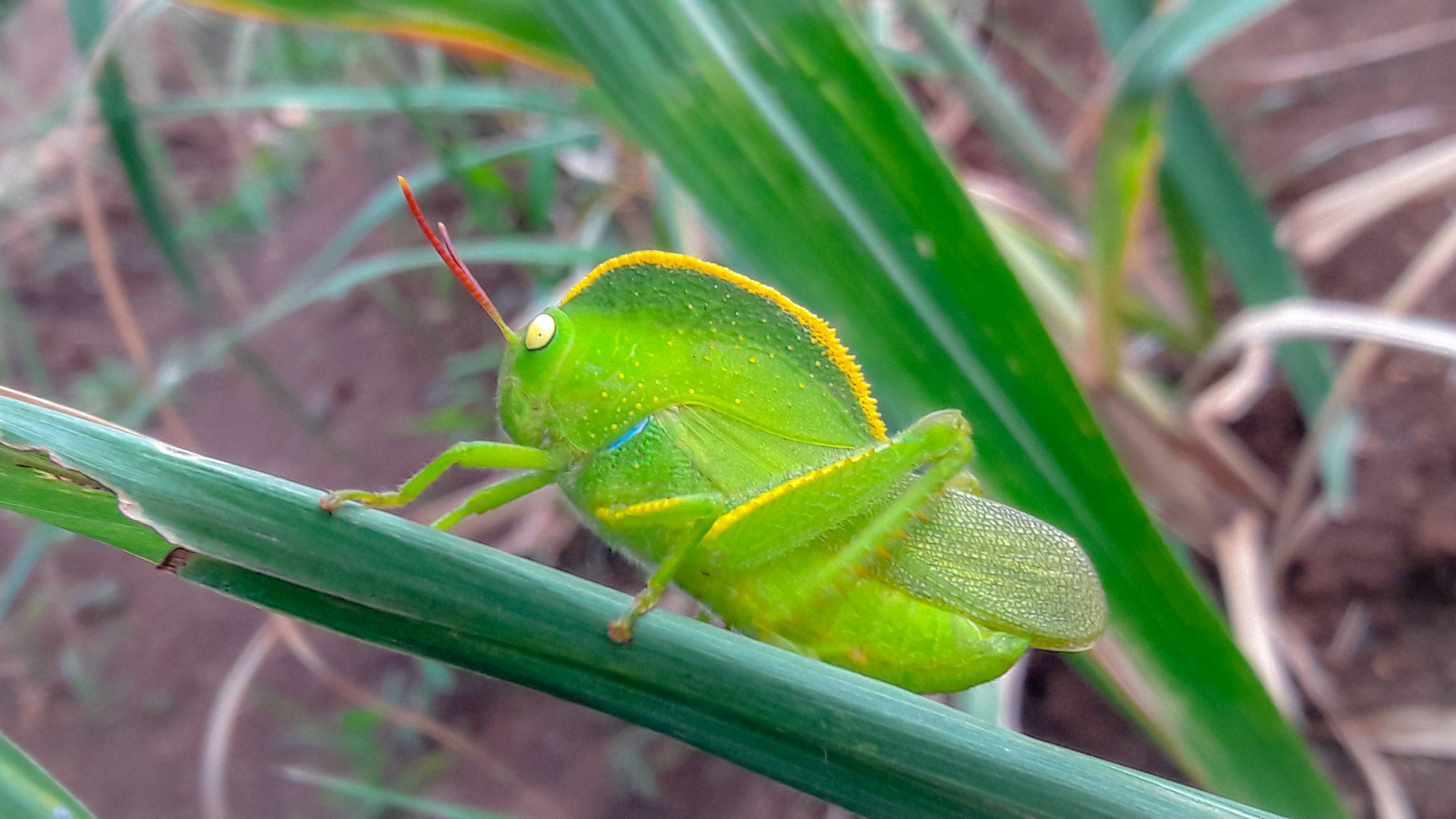 Grasshopper on plant leaf