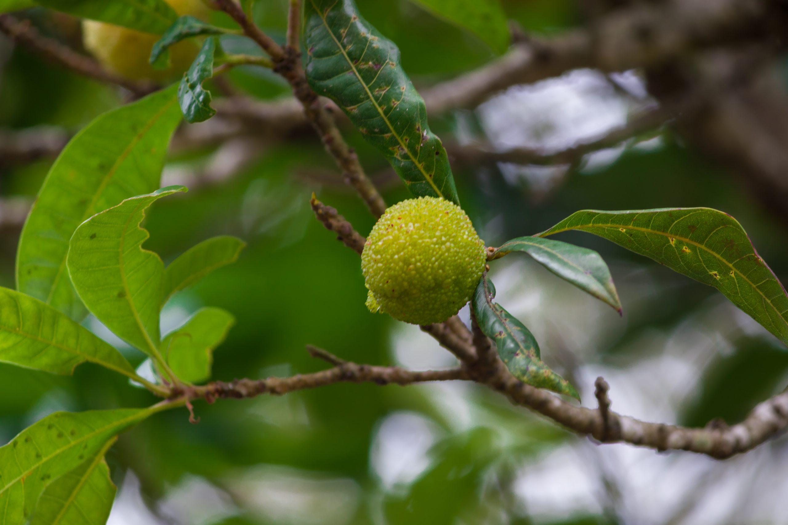 A green berry