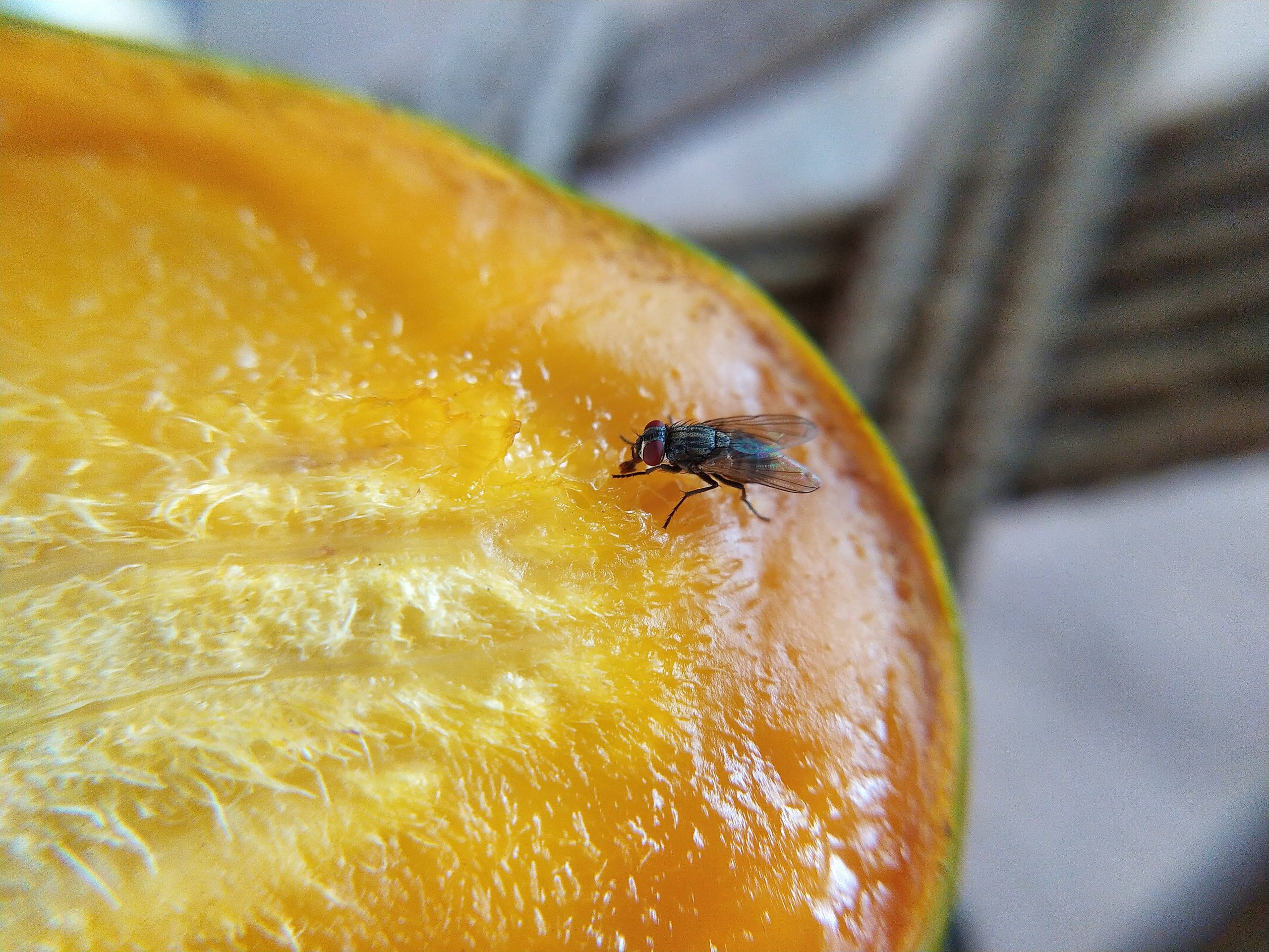 A housefly on a mango slice