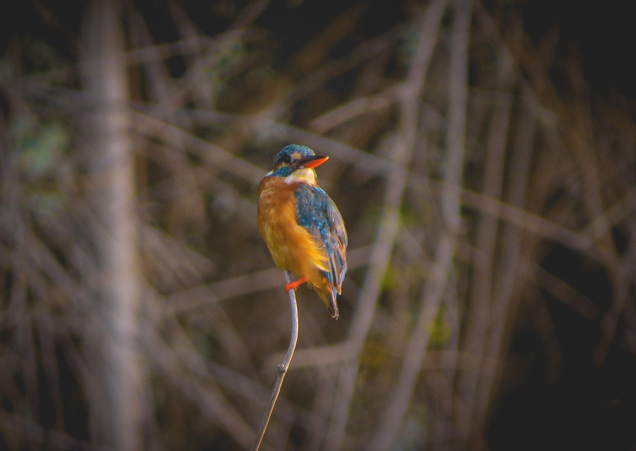 A kingfisher on a twig