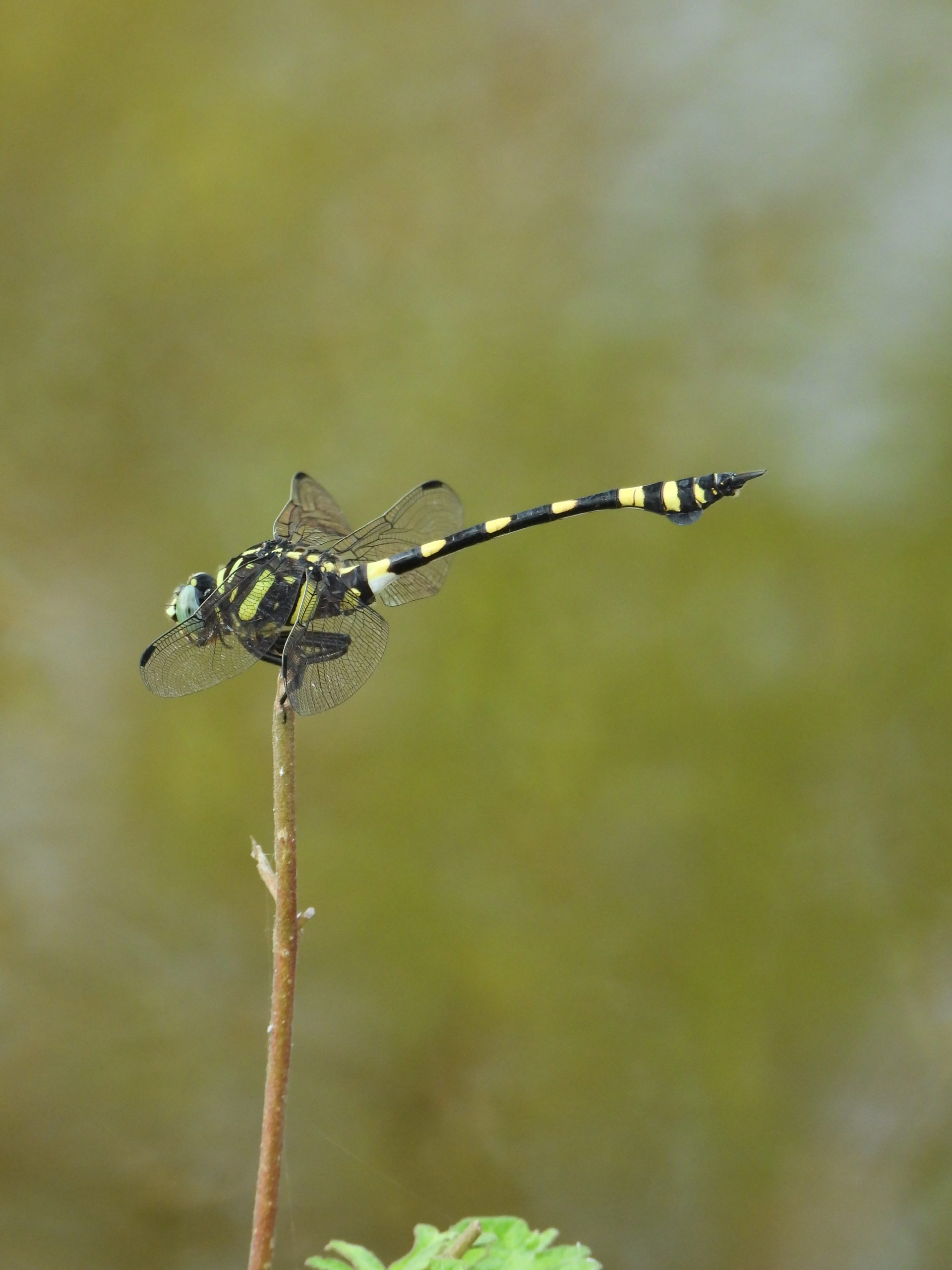 A tiger dragonfly on a twig