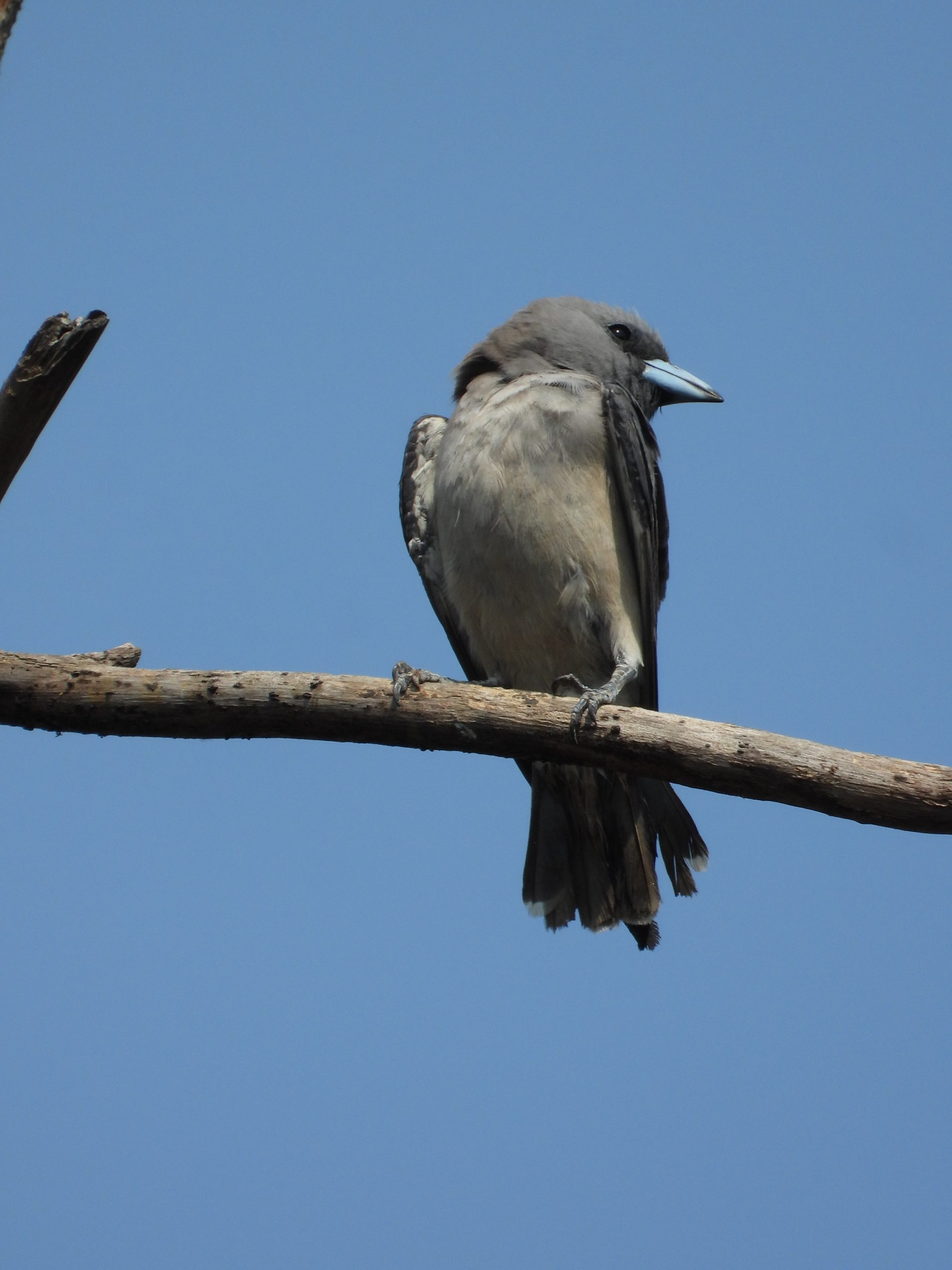 Ashy woodswallow on a branch