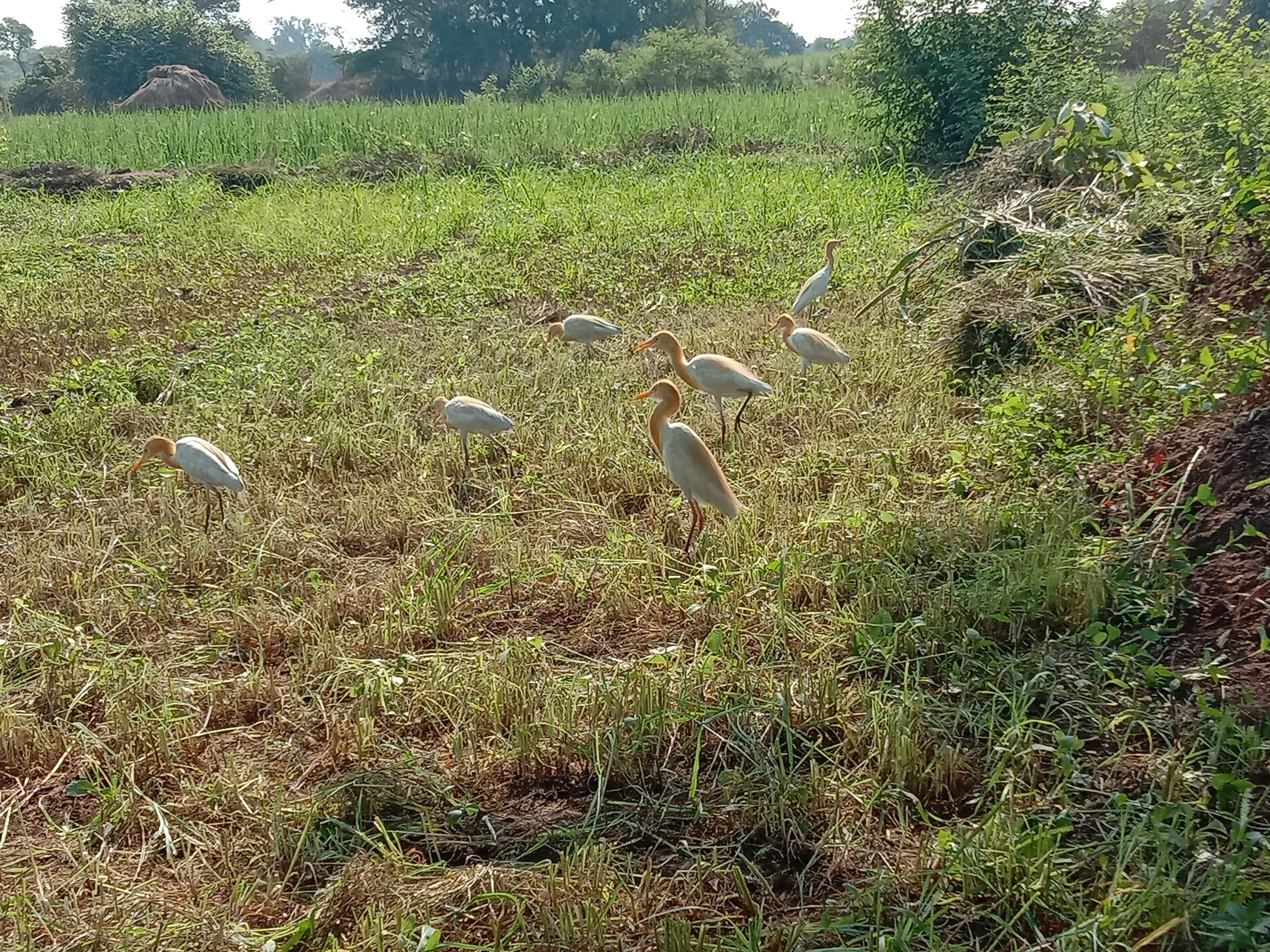 A flock of cattle egrets