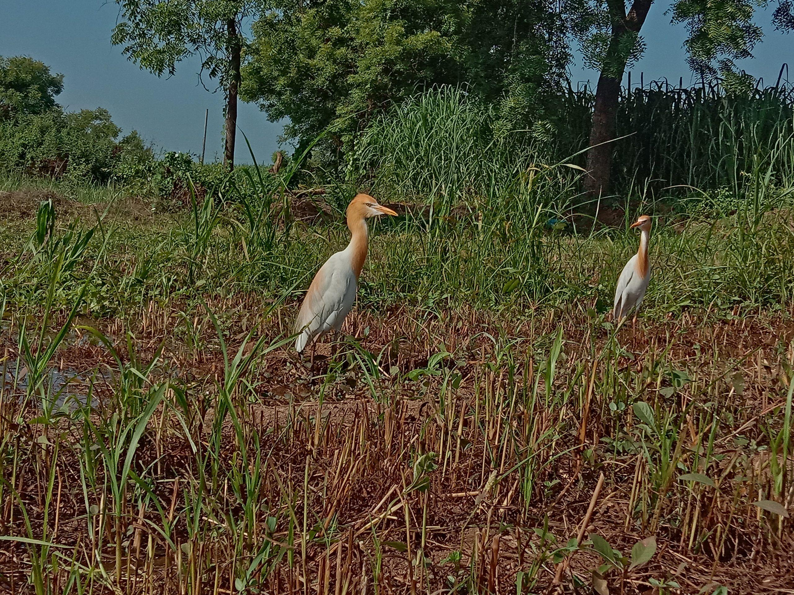 Egret in field