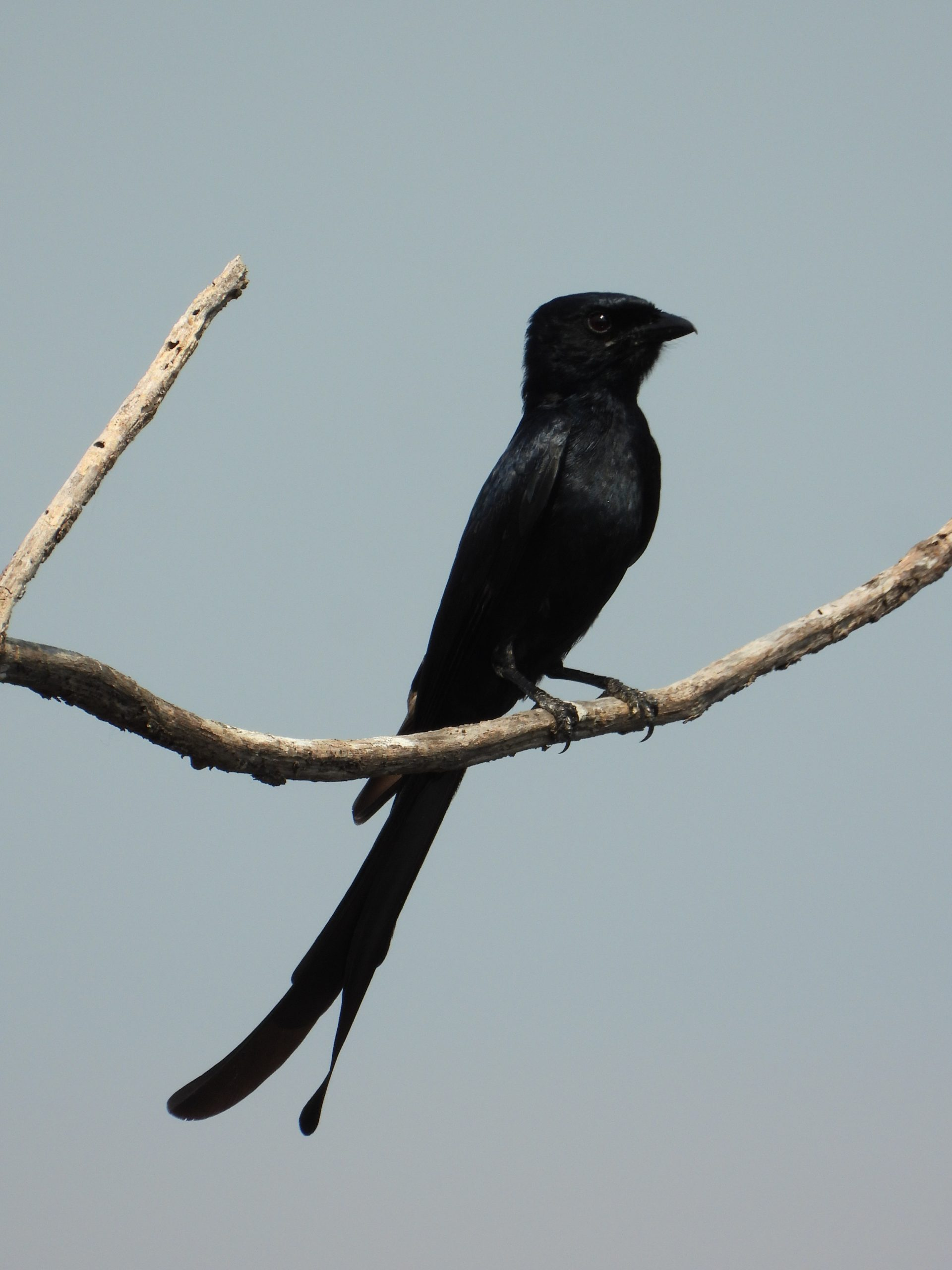 Crow billed drongo on a branch
