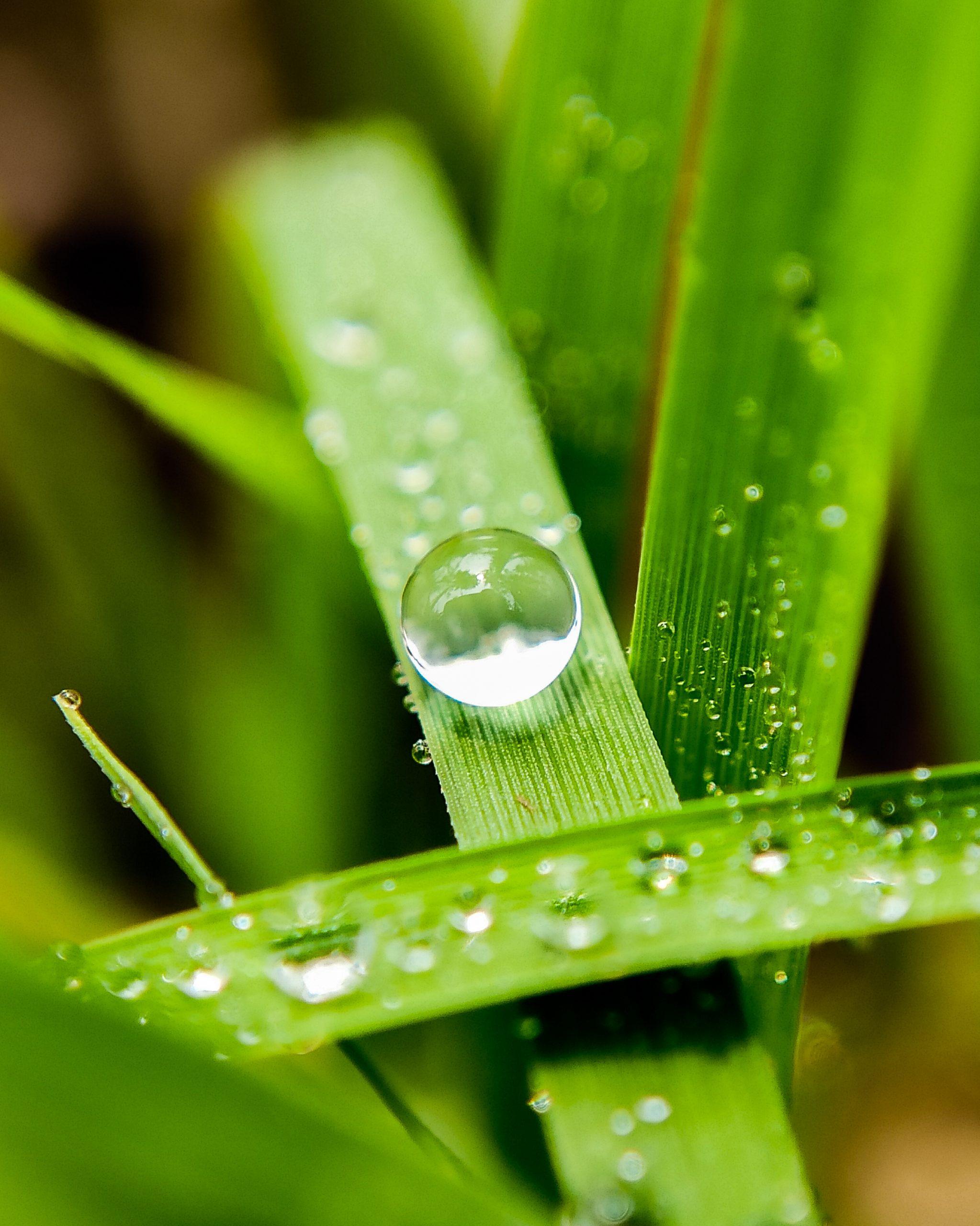 Dew drops on grass straws