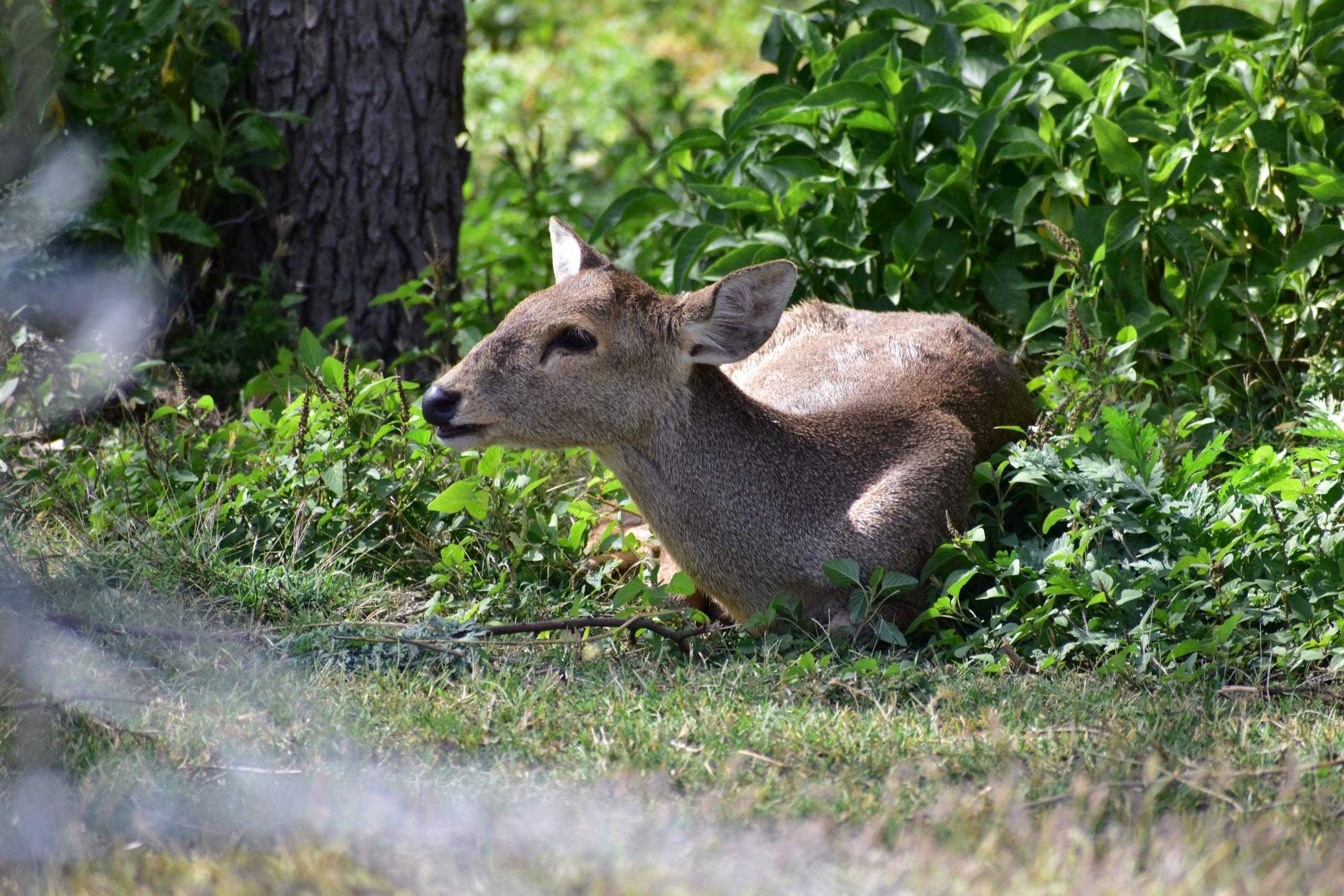 Hog deer at forest