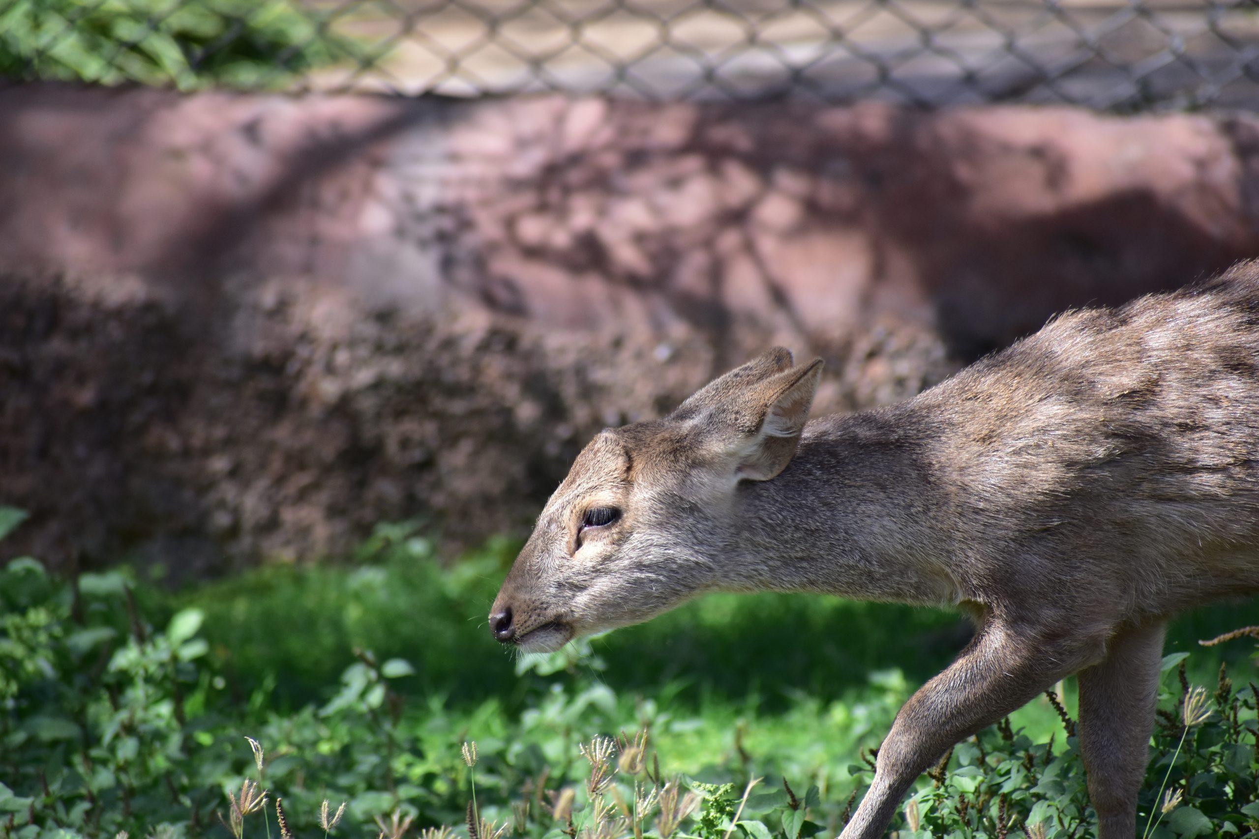 Indian hog deer
