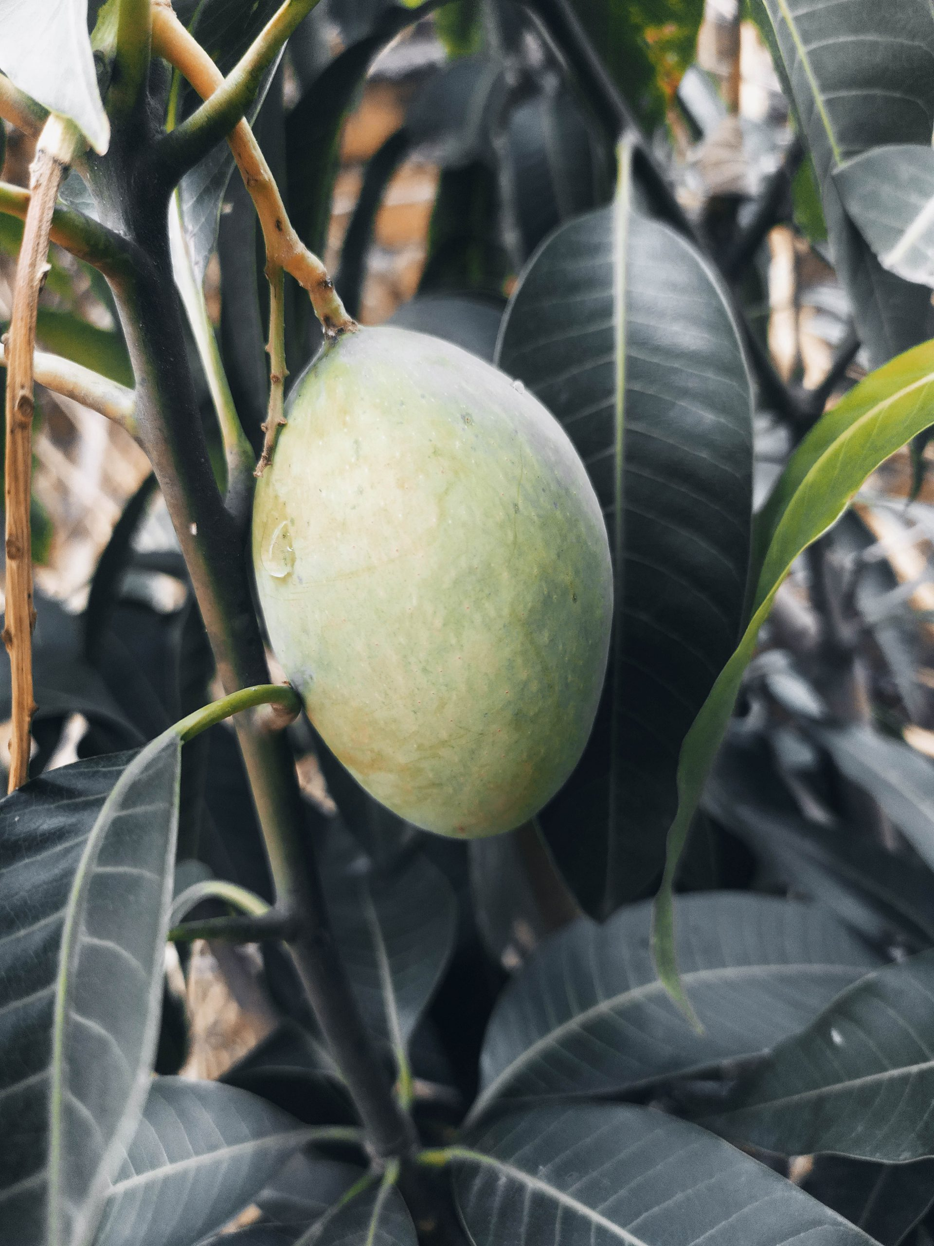 Mango hanging on plant