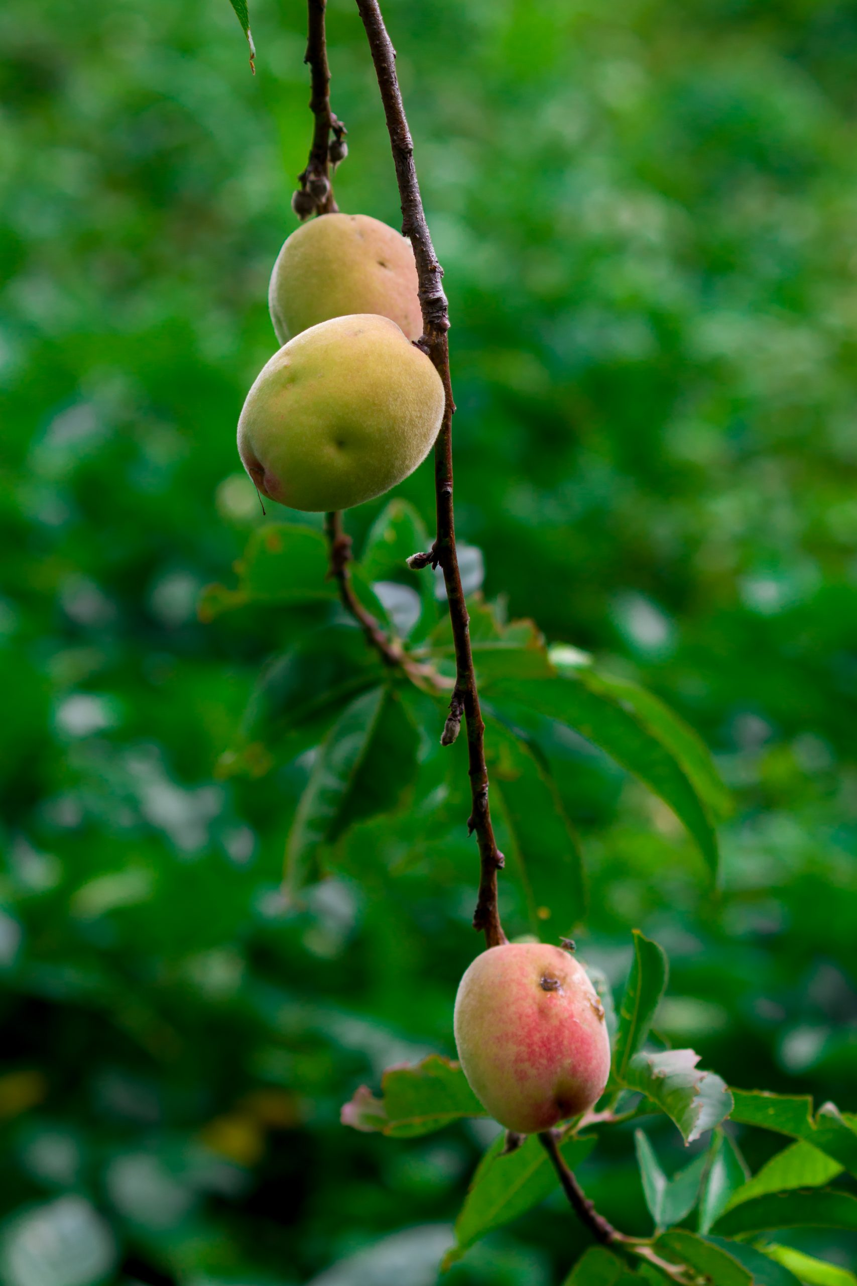 Peaches hanging on a tree