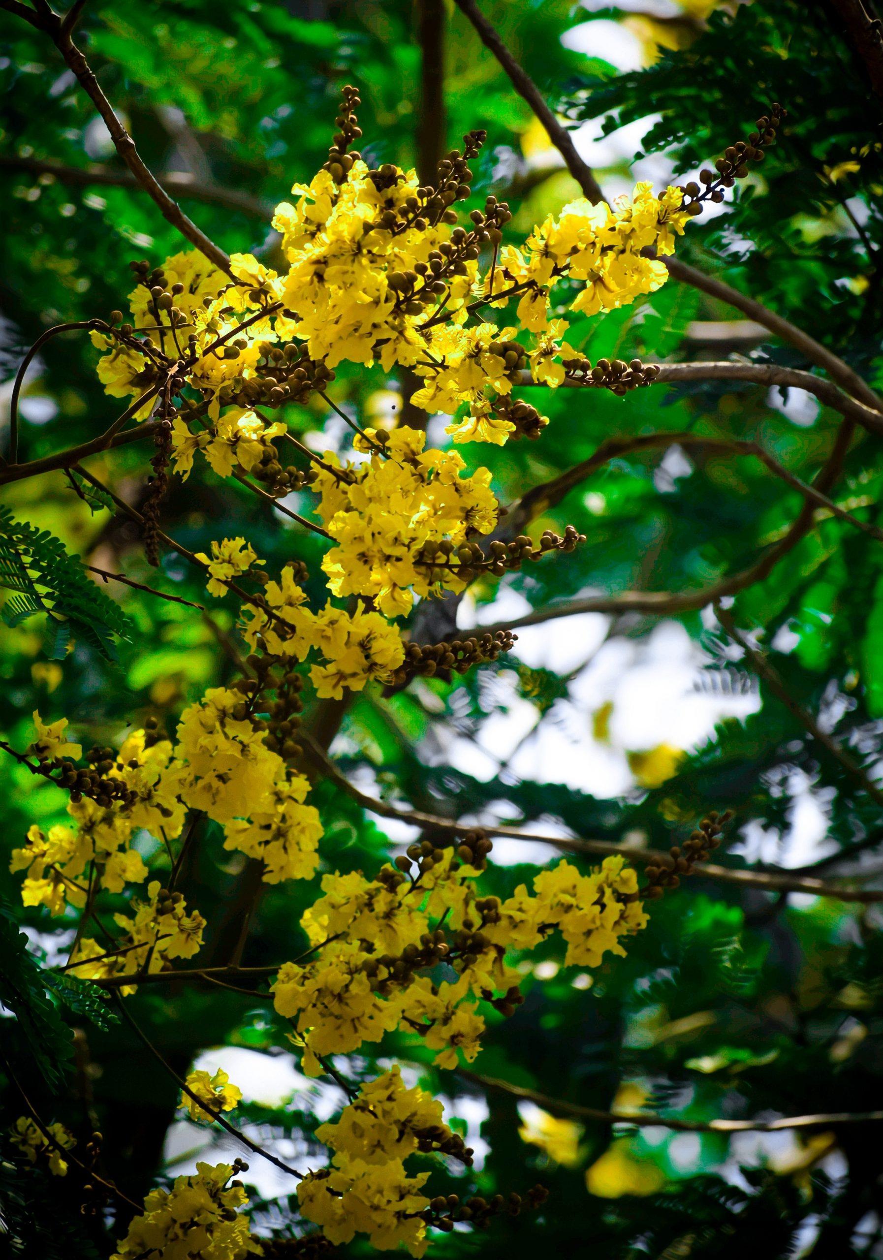 Peltophorum pterocarpum flowers