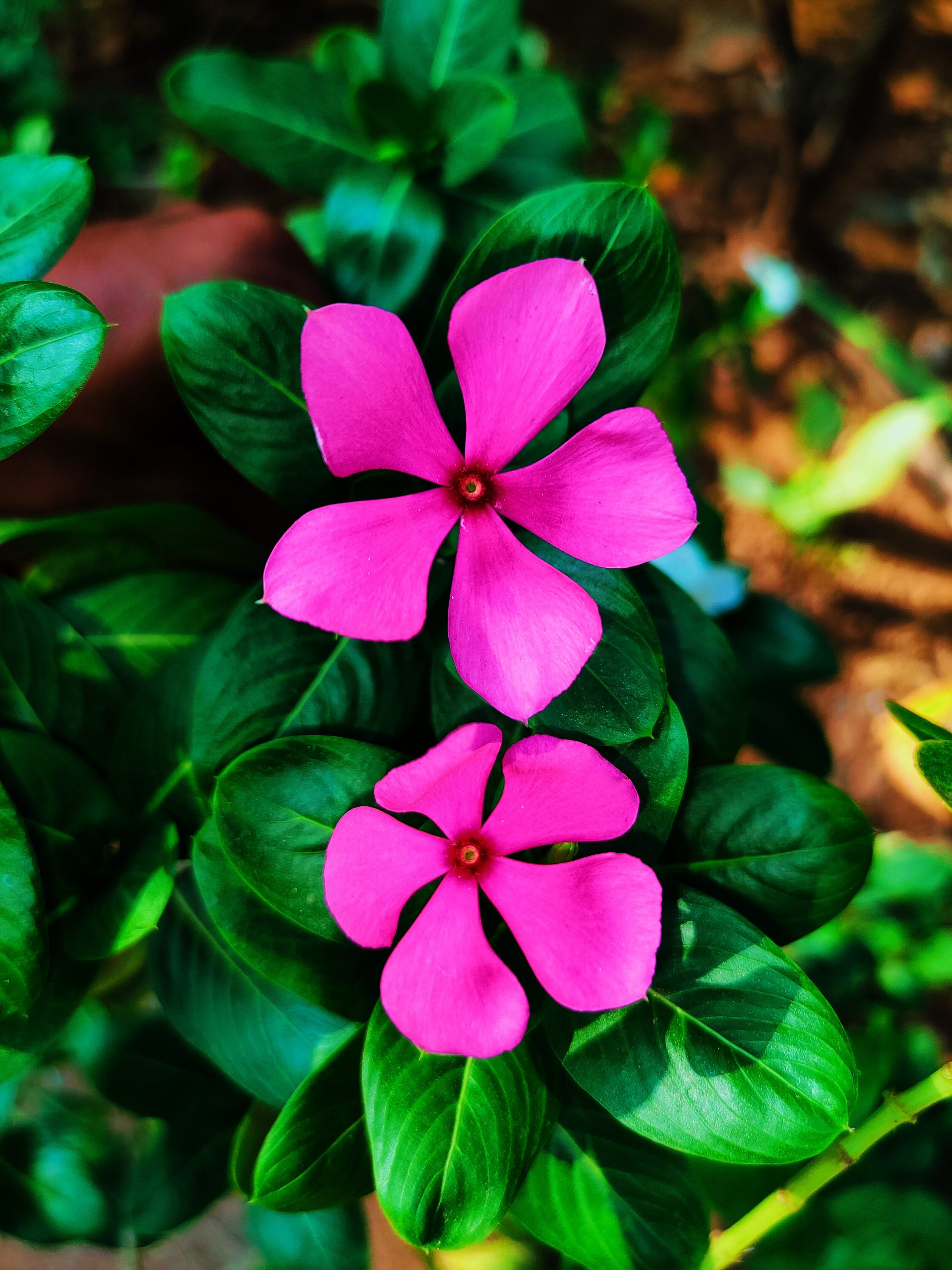 Pink flowers of a plant