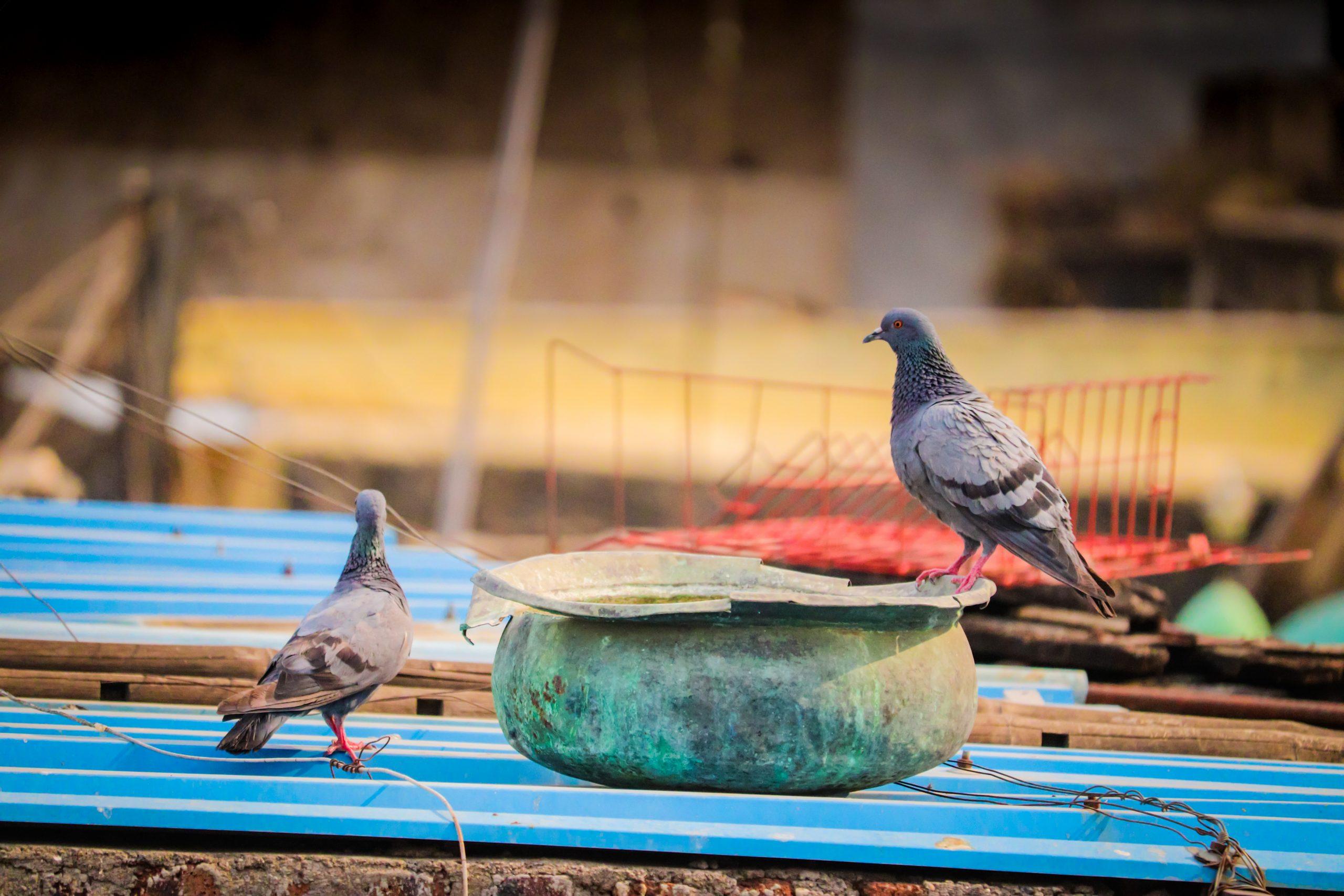 Thirsty pigeons