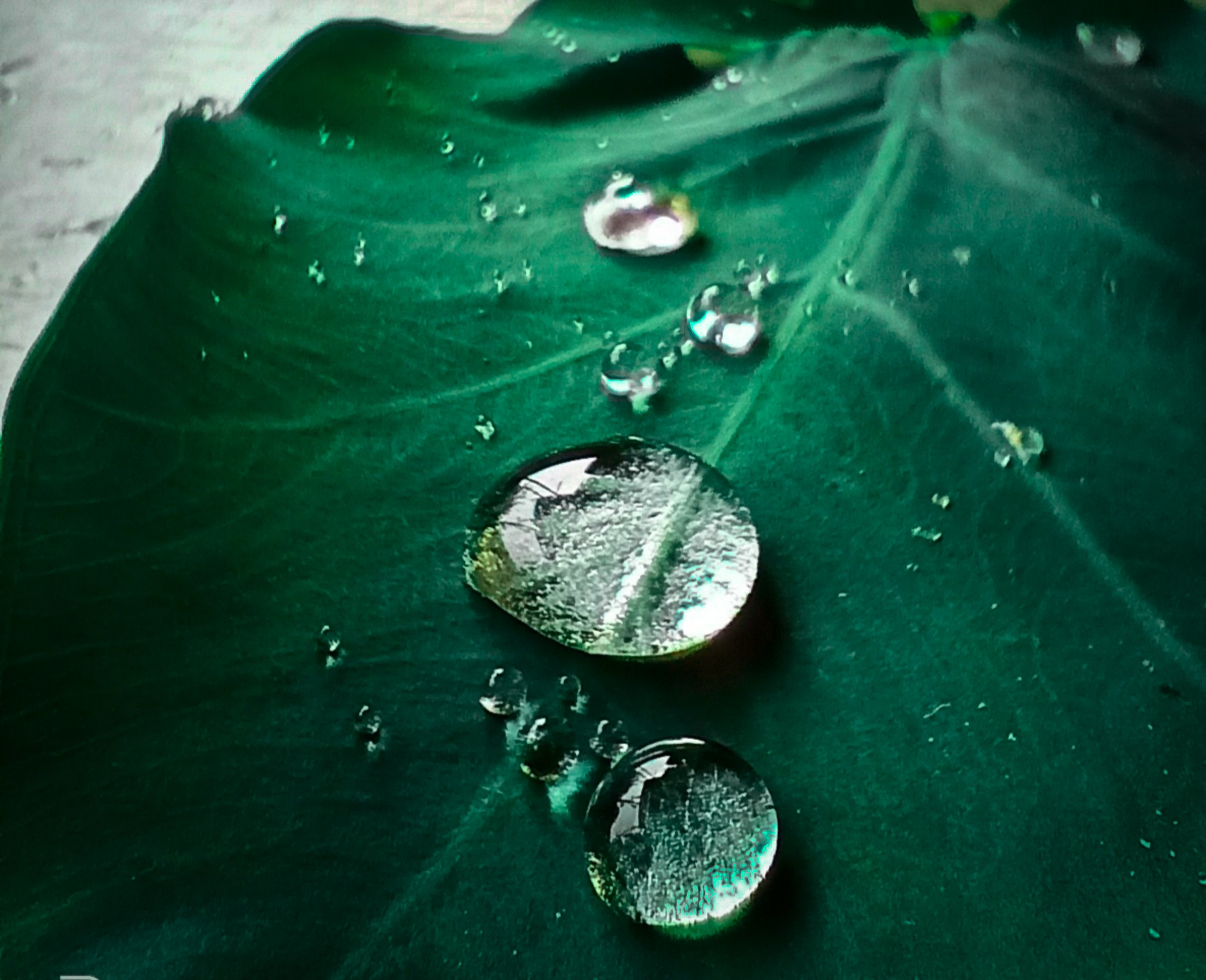 Water drops on a taro leaf