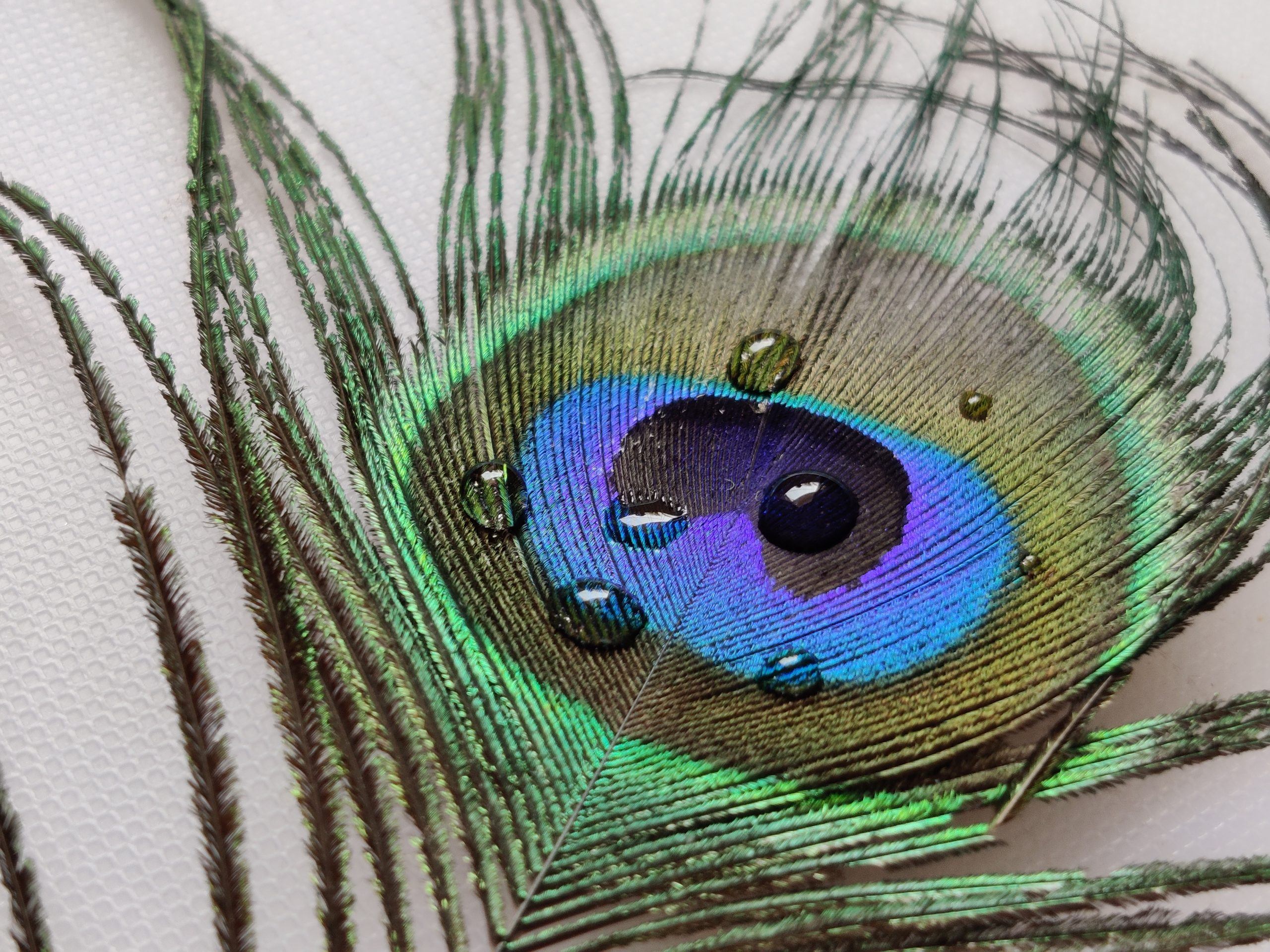 Waterdrops on peacock feather