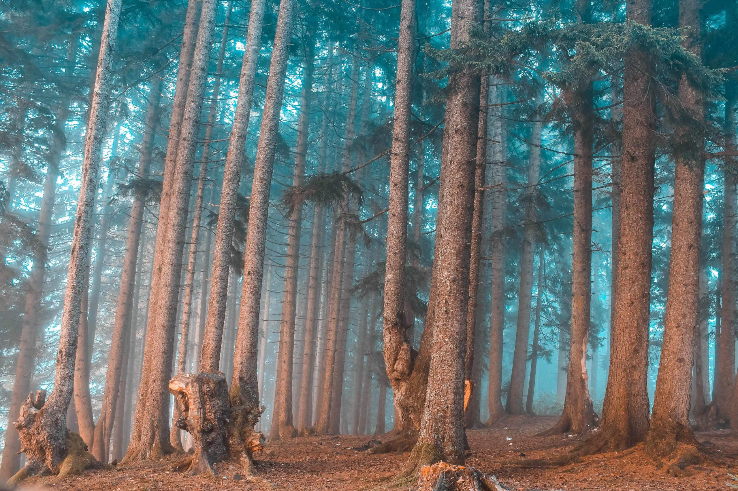 Forest in Giresun Kumbet plateau