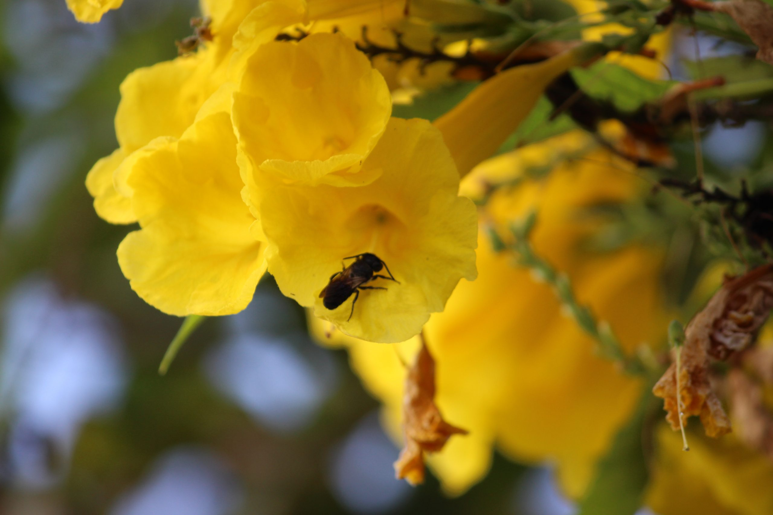 Honey Bee on Yellow Flower blossoms