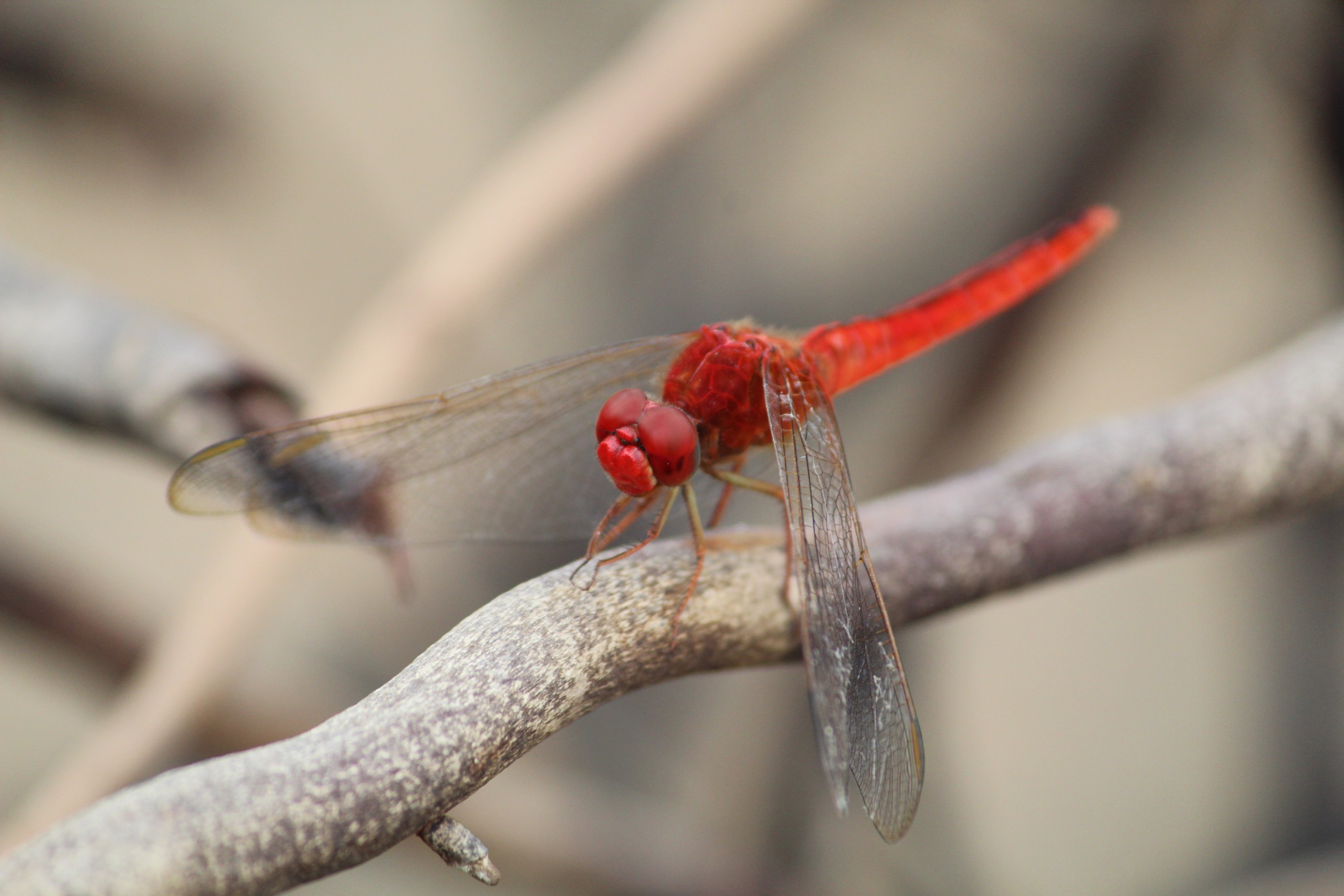 Red dragonfly sitting on a branch